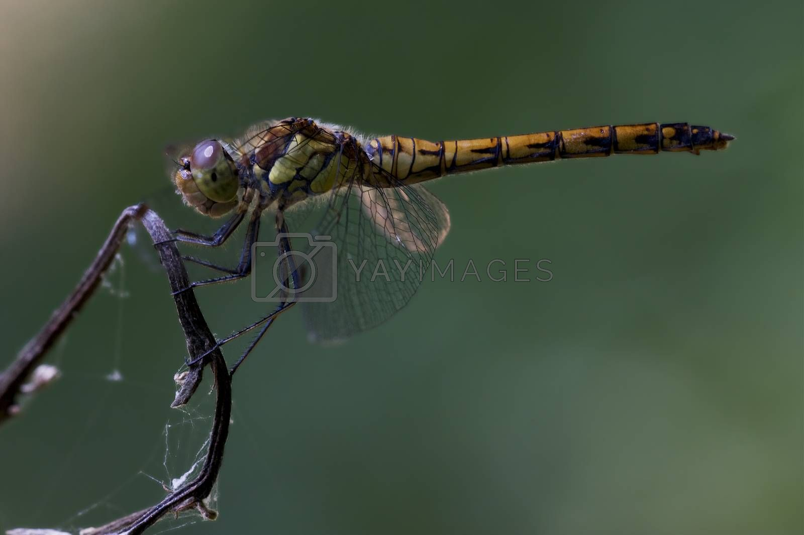 Royalty free image of side of wild  yellow black dragonfly  by lkpro