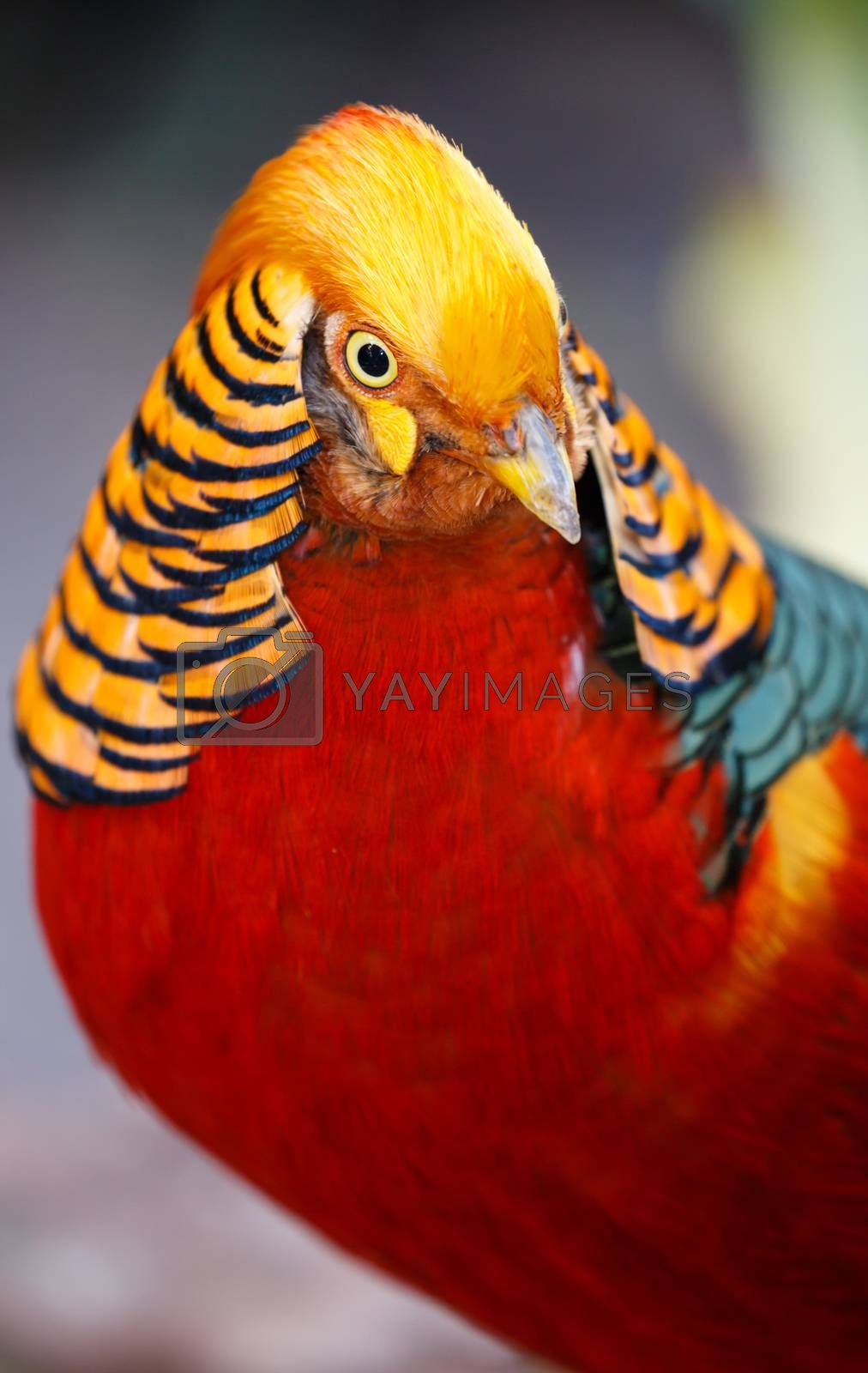 Royalty free image of Beautiful Male Golden Pheasant Bird by fouroaks