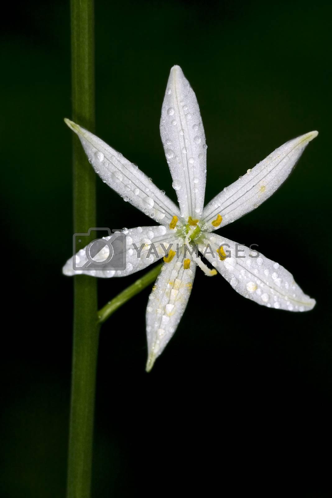 white flower allium ursinum by lkpro
