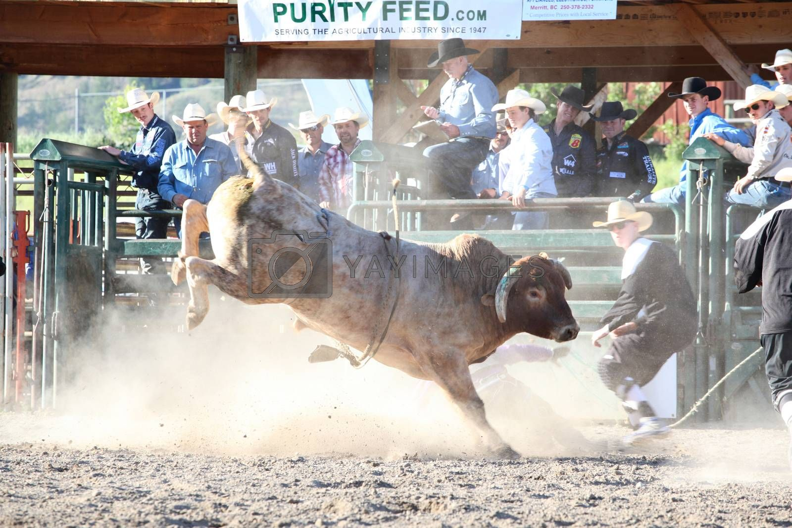 MERRITT, B.C. CANADA - May 30, 2015: Bull rider riding in the first round of The 3rd Annual Ty Pozzobon Invitational PBR Event.