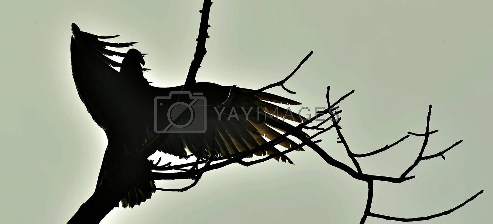 Silhouettes of the Turkey Vulture (Cathartes aura) perched on a tree, against the sky