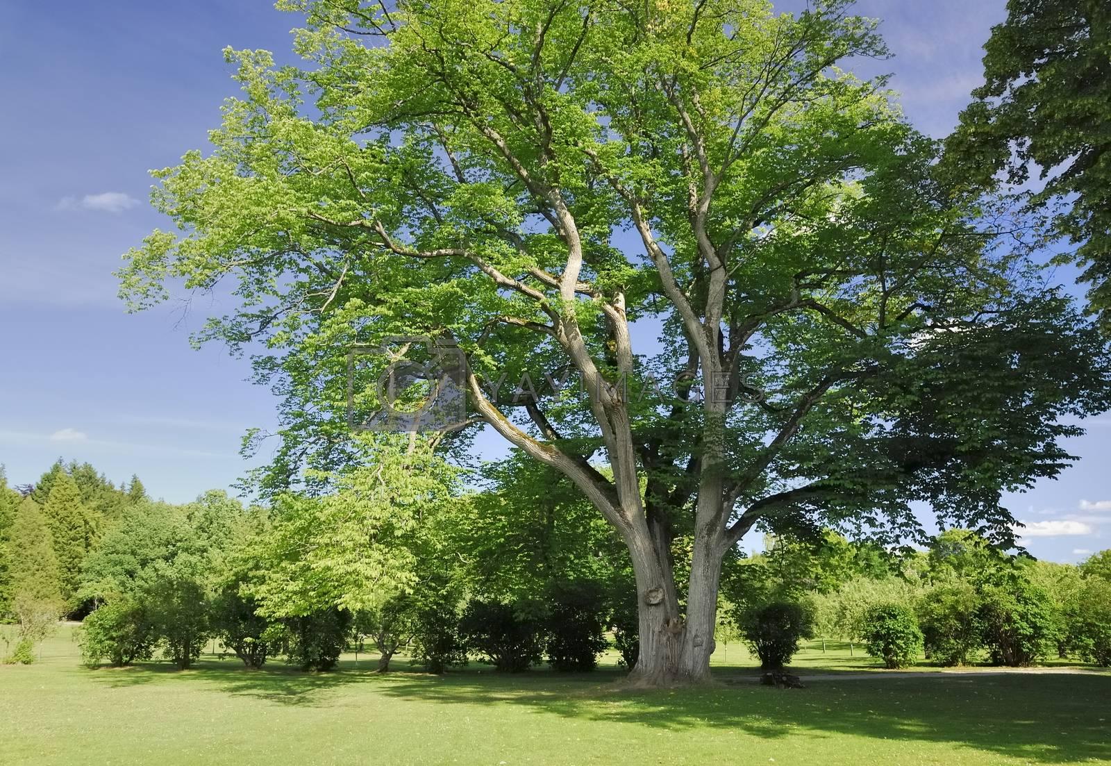 Big tree in the garden.