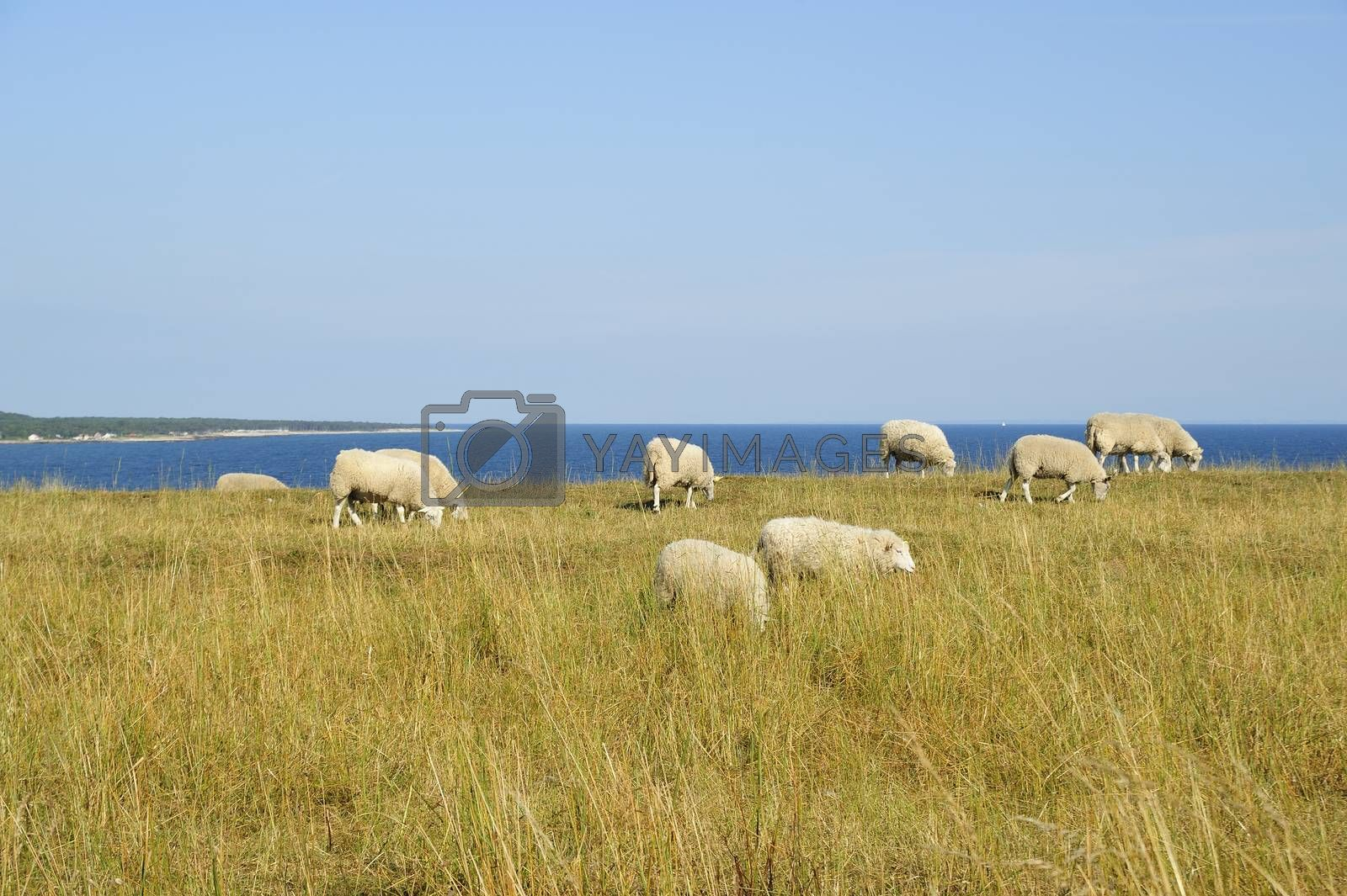Grazing sheep in Skane - Sweden on a bright green field. Some of them are lying down.
