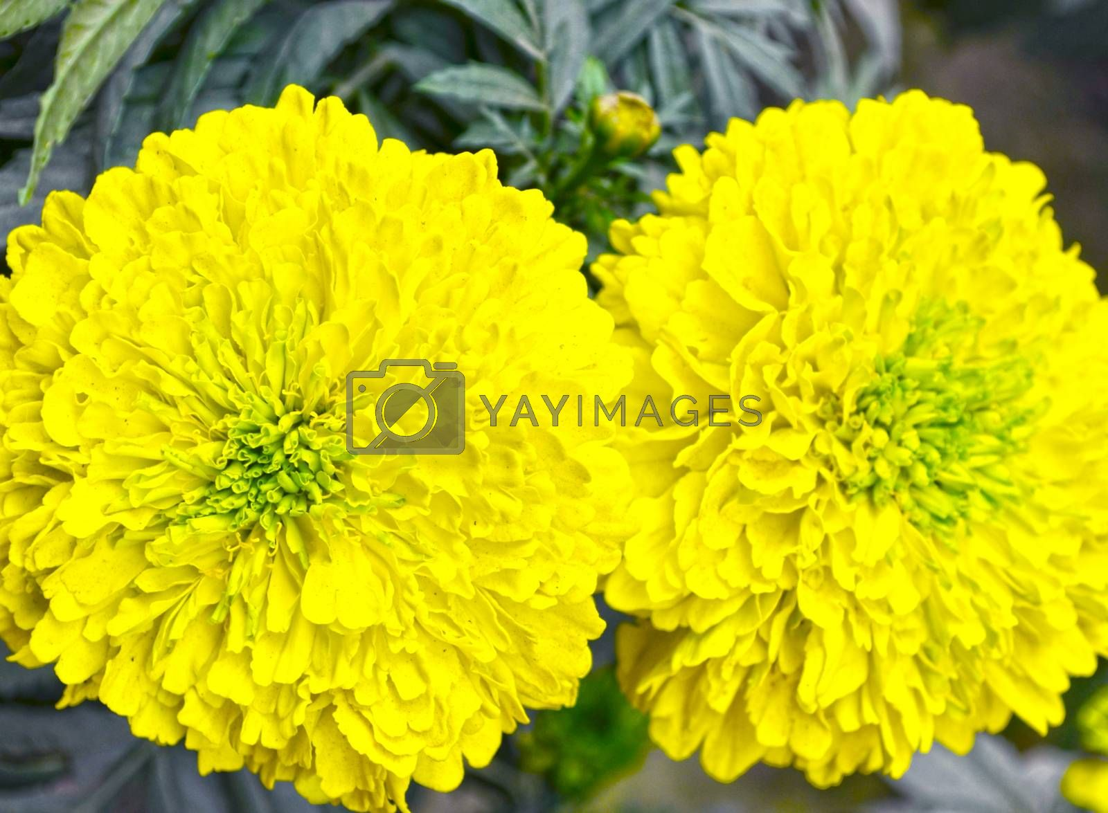 Closeup of beautiful yellow color flowers in the garden