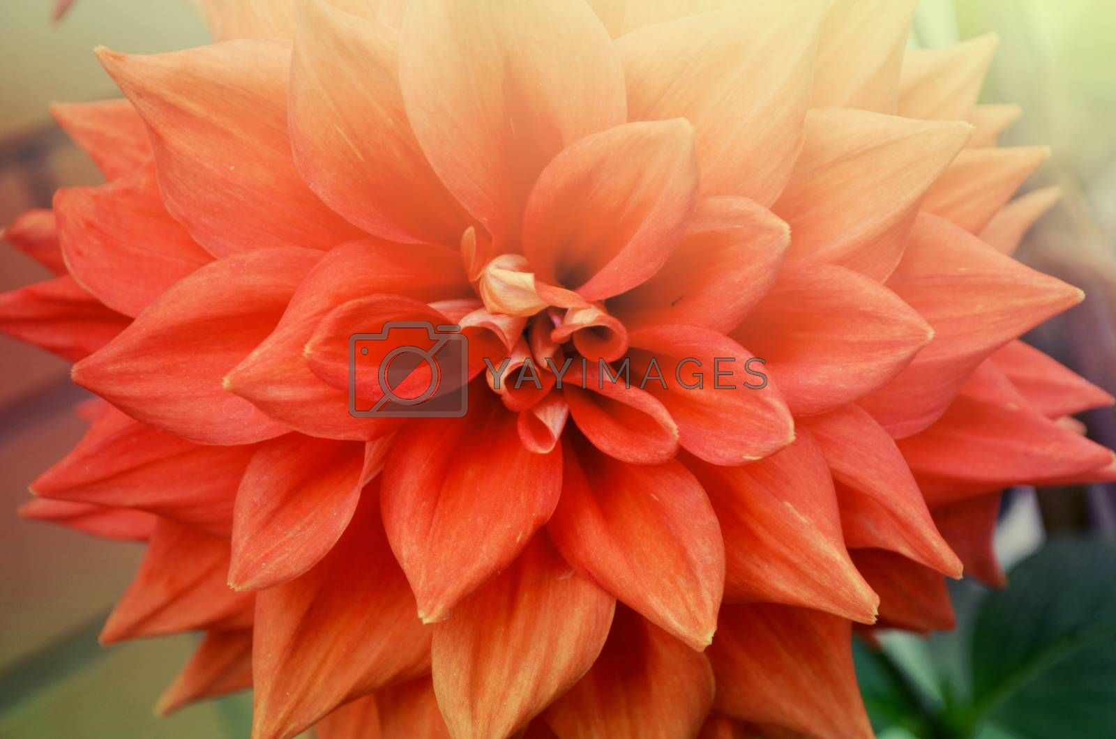 Closeup of beautiful red-orange color flowers in the garden