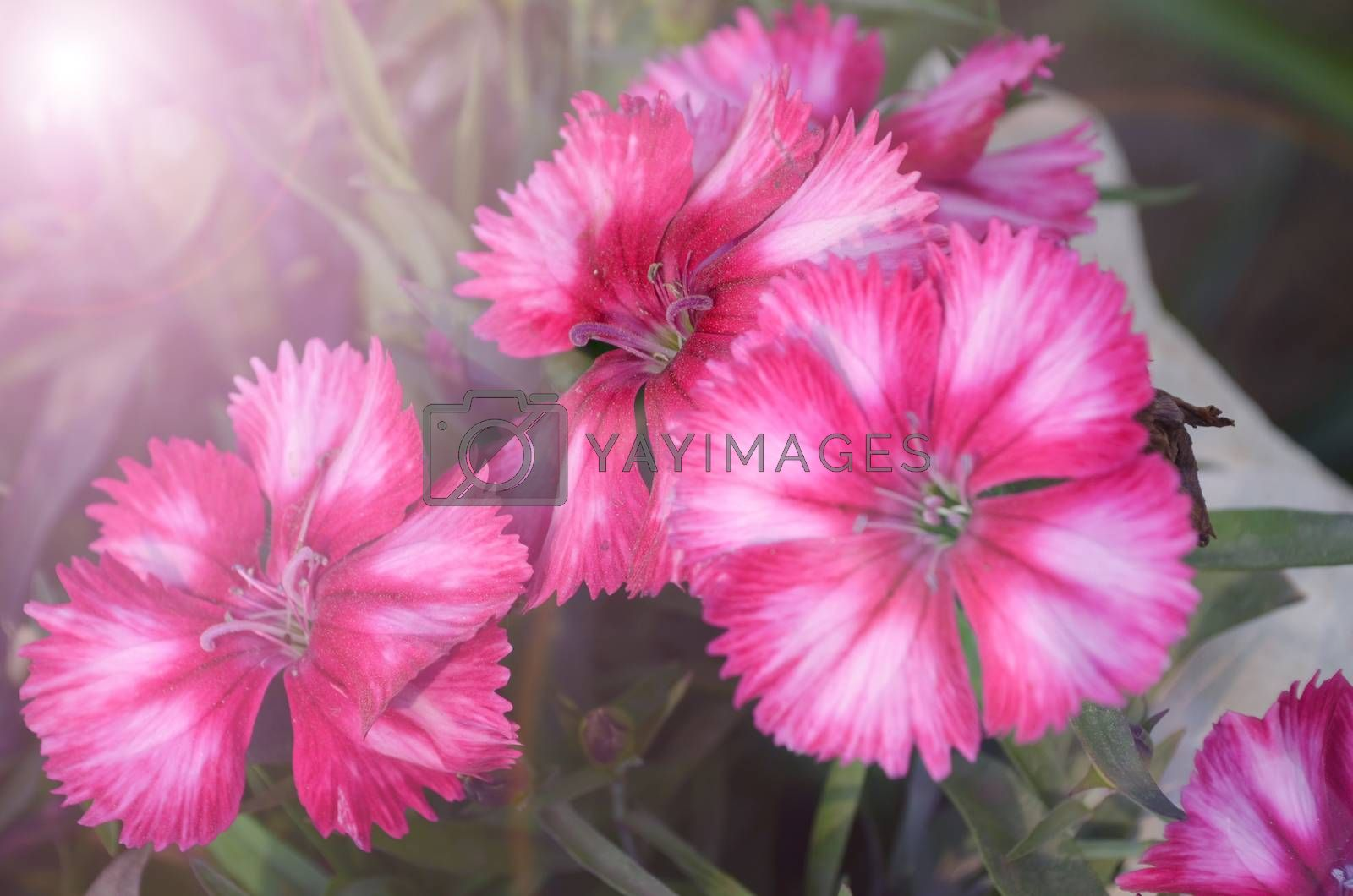Pink color flowers in the garden captured very closeup with sunlight