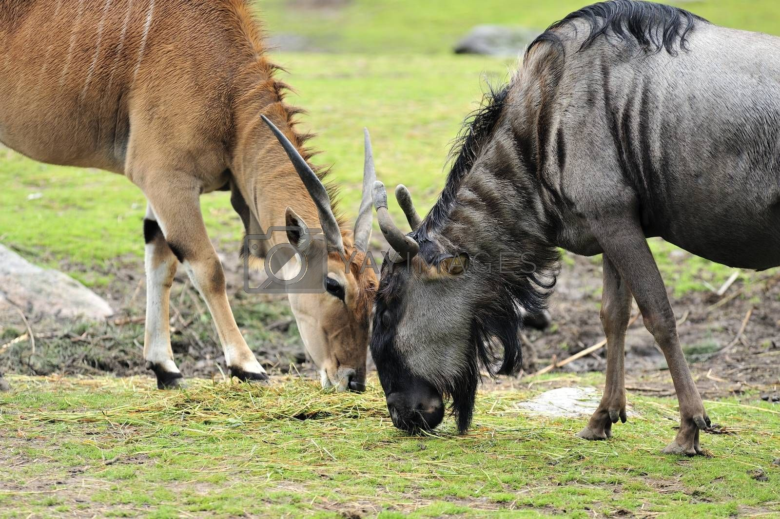 Closeup of a Wildebeest and a Antelope