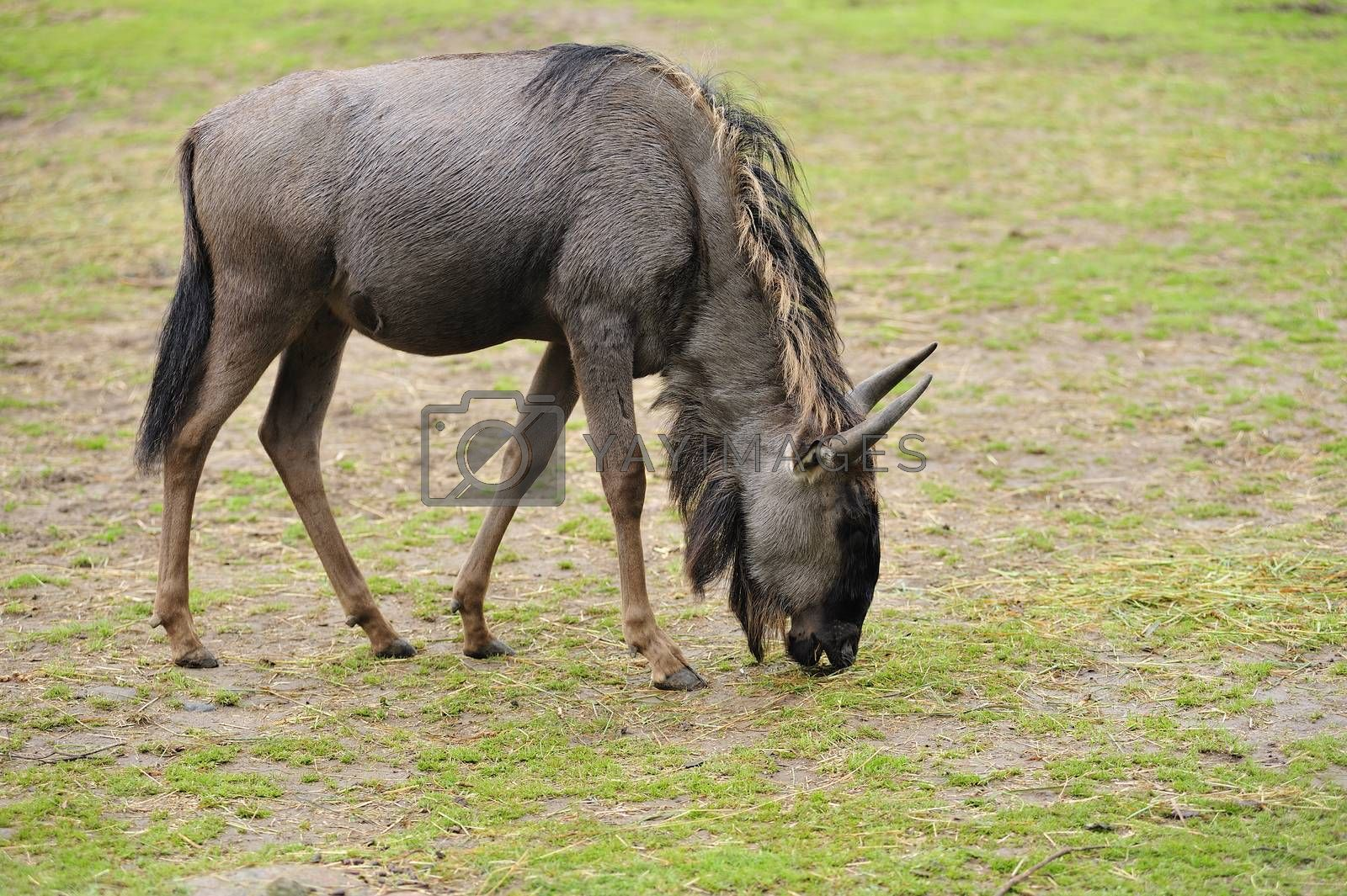 Closeup of a wildebeest.