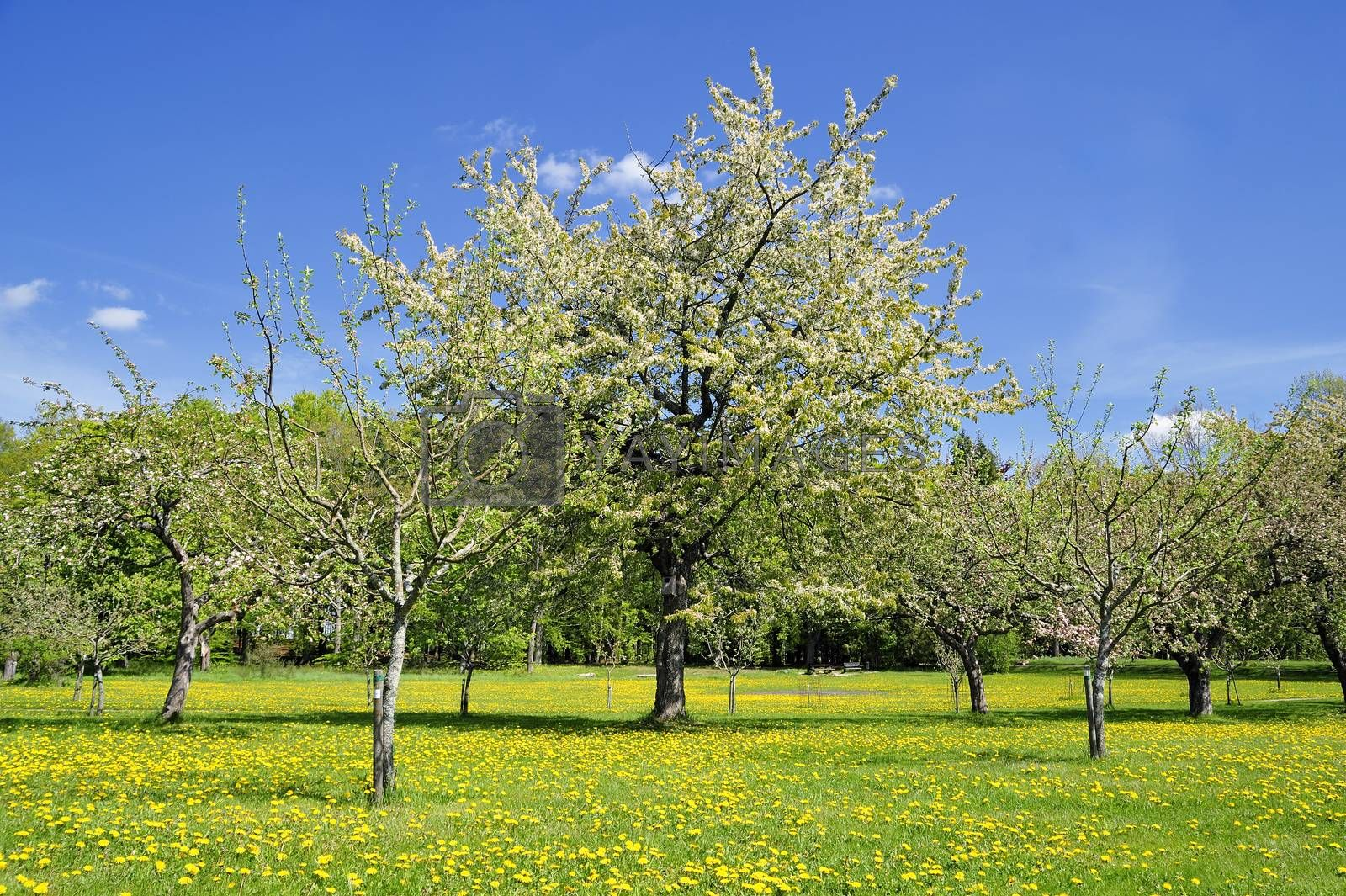 Apples on tree in Swedish orchard.