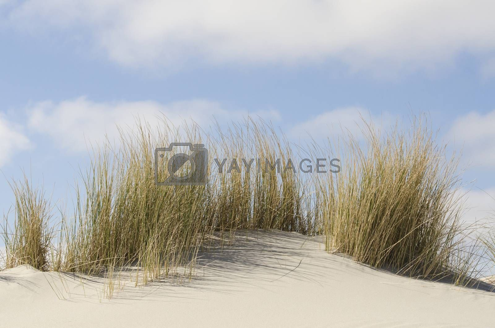 Dunes with marram grass on the Dutch coast of Terschelling