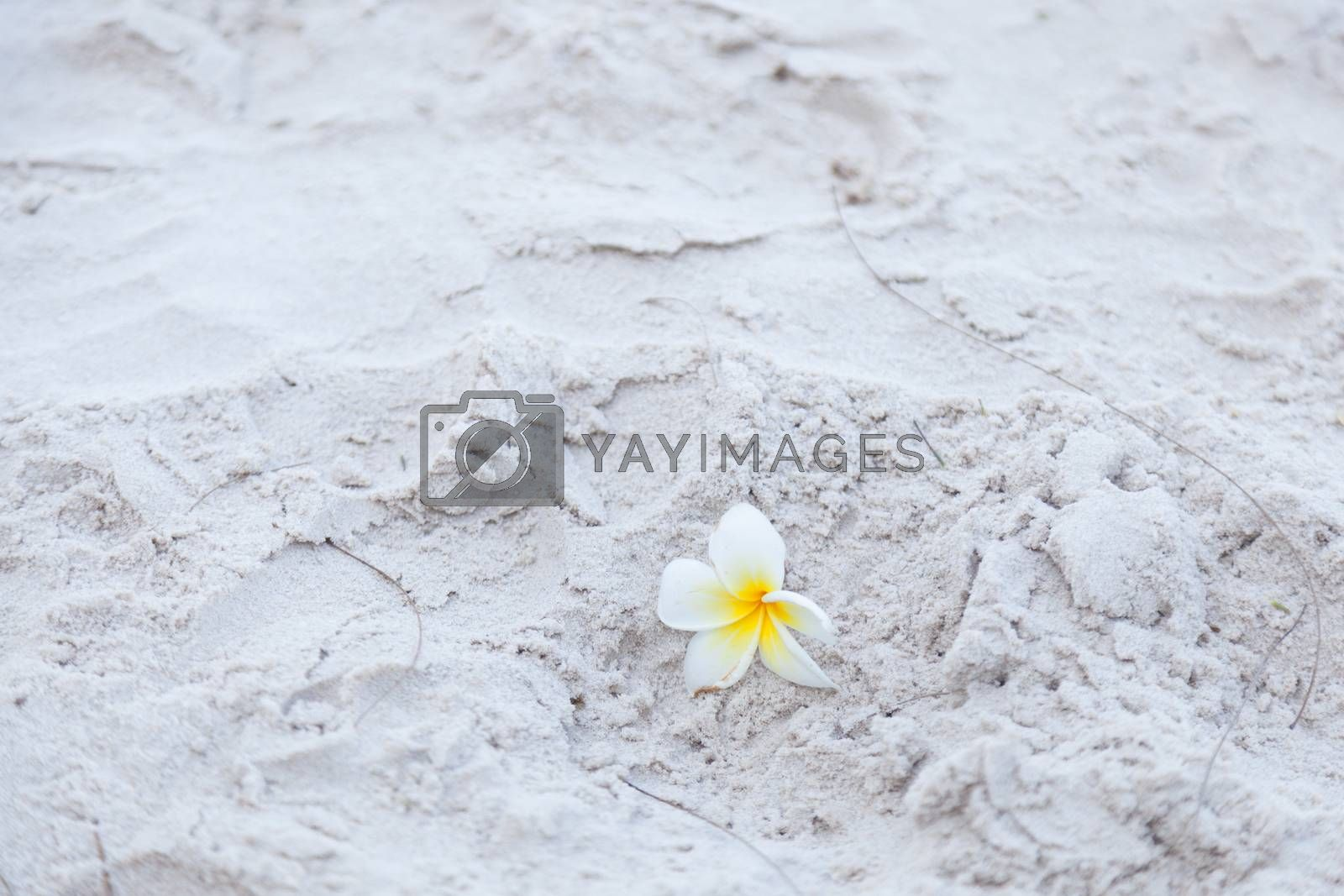 Flower on the sand by a454