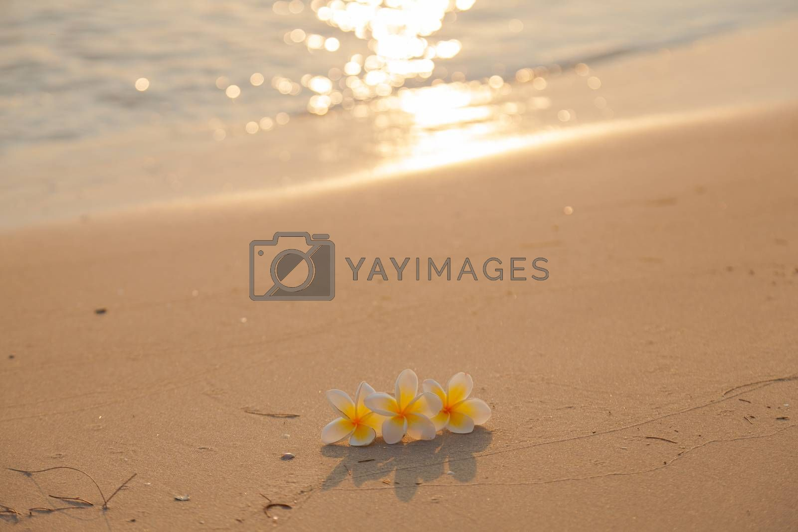 Flower on the sand. White flower on the beach in the morning sunlight shining from behind.