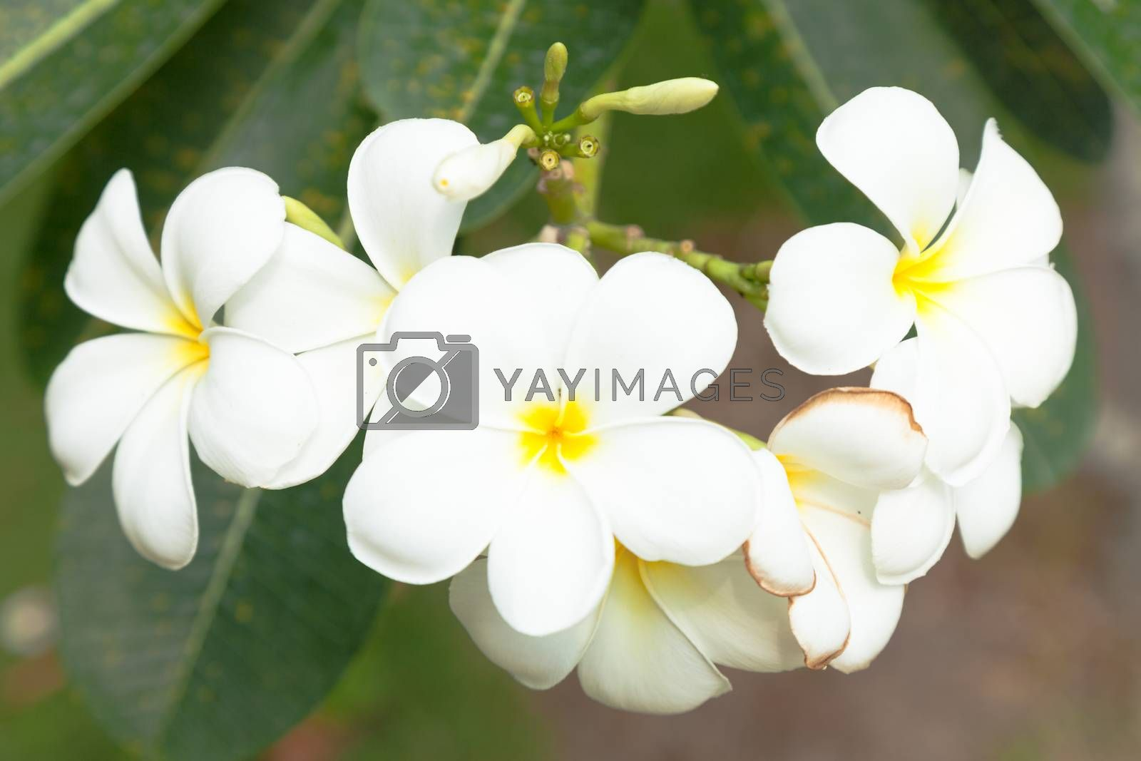 White flowers on a tree. A bouquet of white flowers in full bloom on the trees.