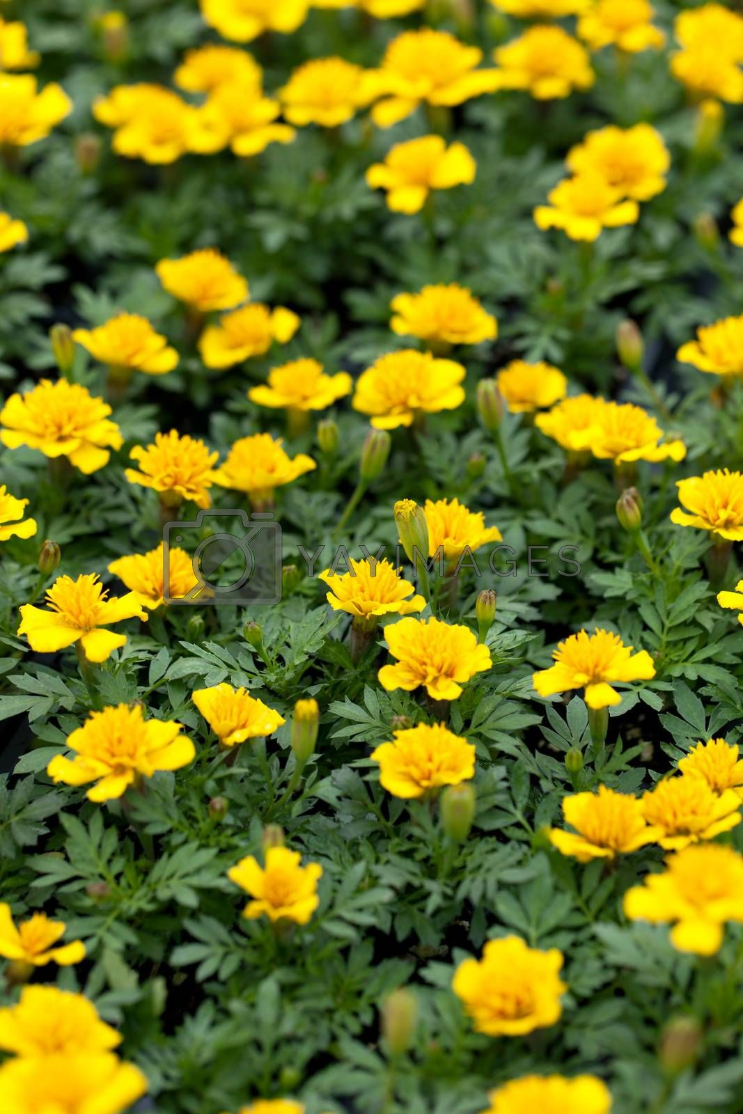 Yellow marigold flower plants macro closeup with a shallow depth of field.