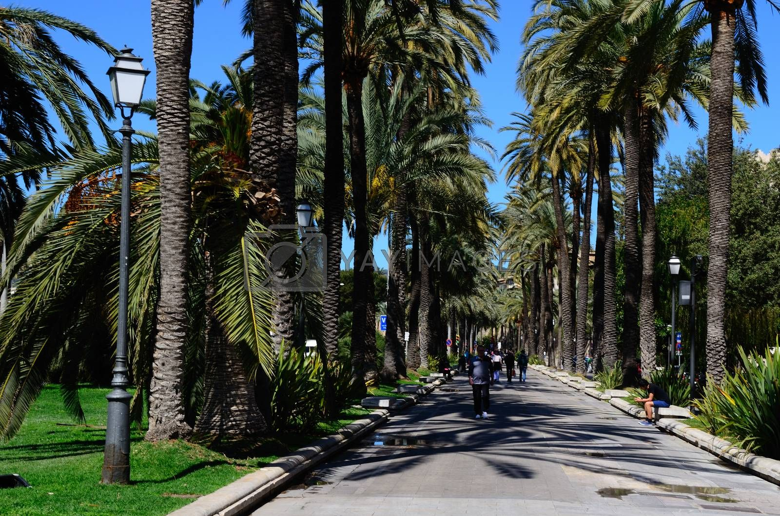 many palm trees in an alley in Mallorca