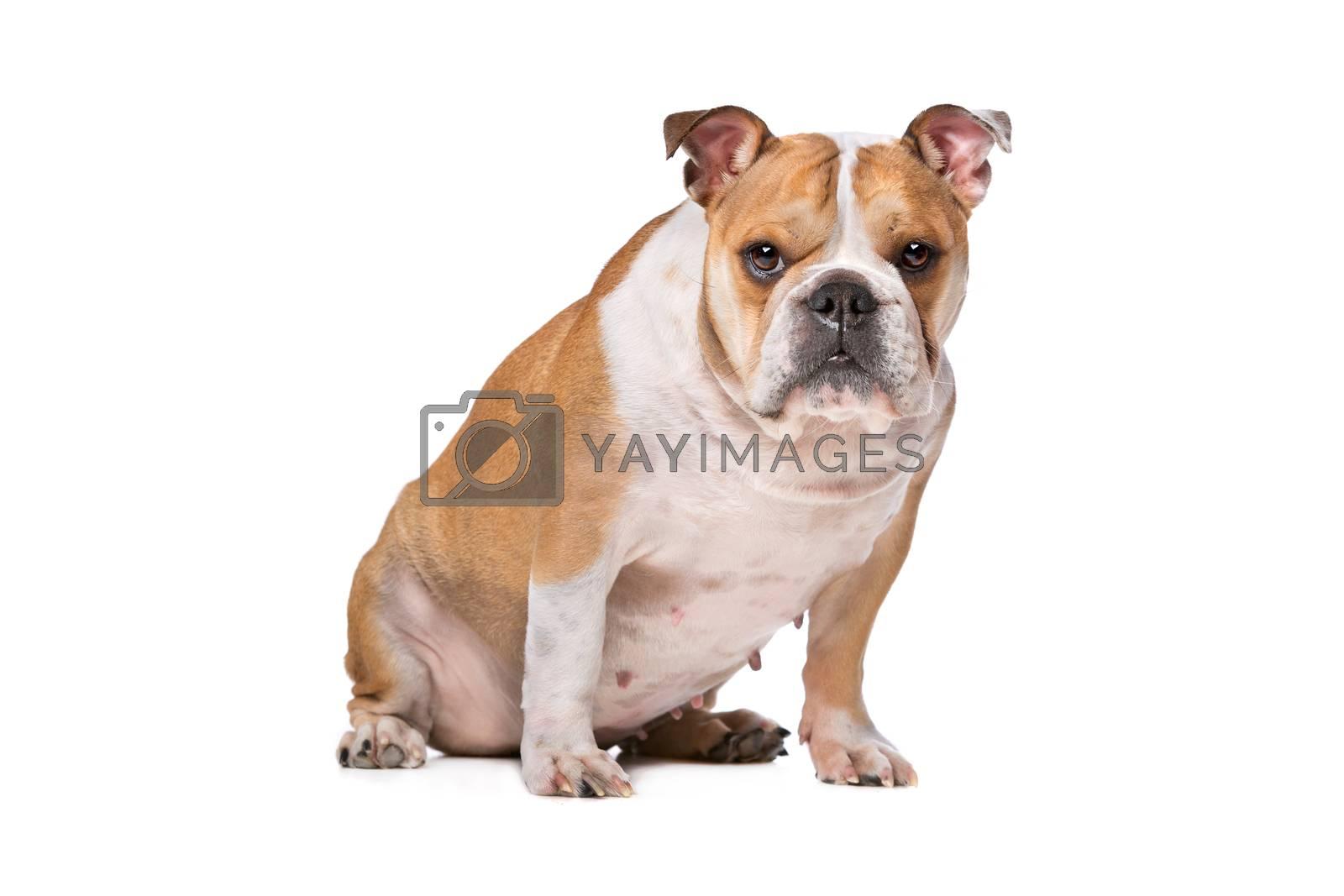 Royalty free image of brown and white English Bulldog by eriklam