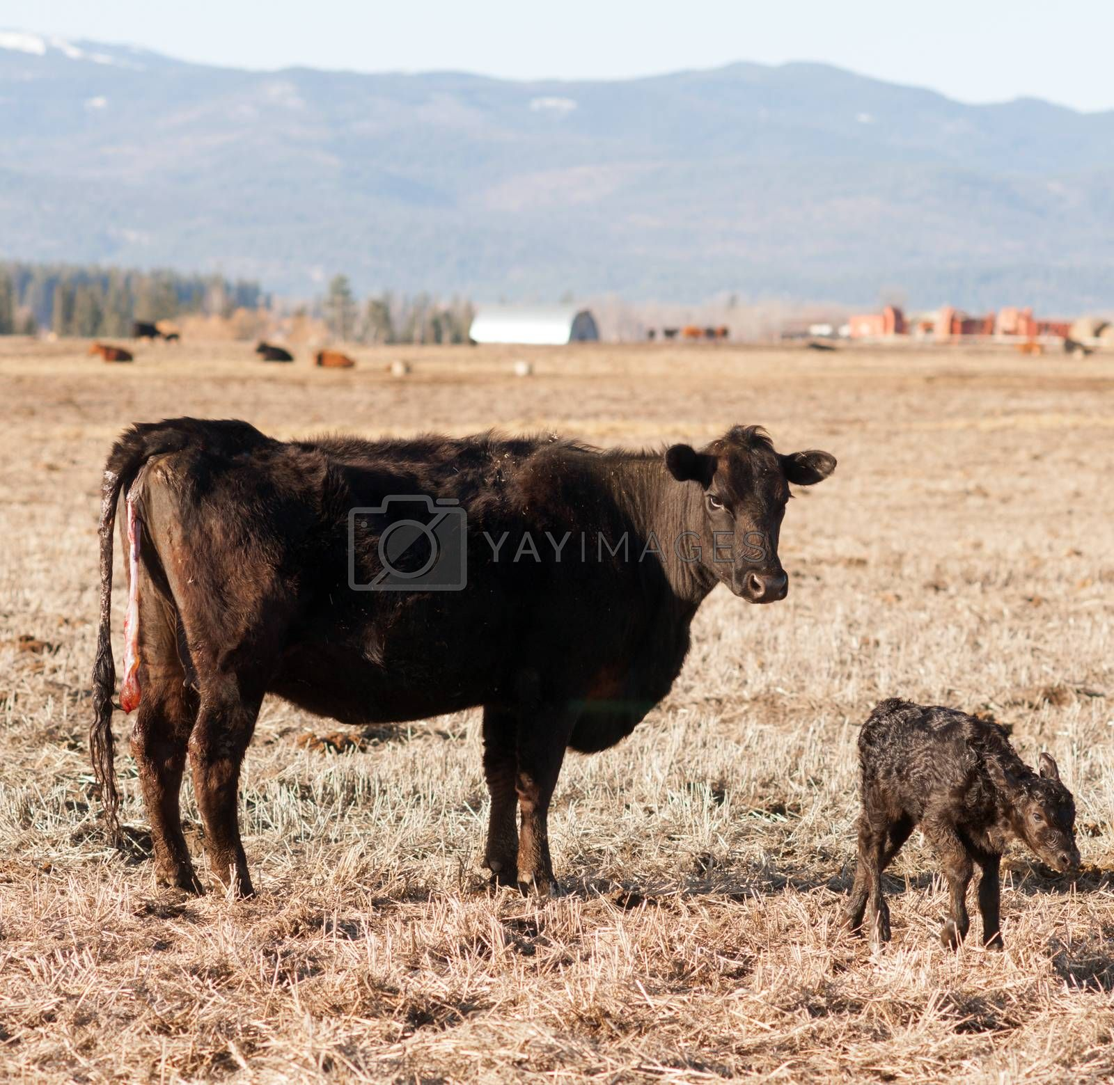 Royalty free image of Newboern Calf Montana Ranch Unaided Birth Cattle Ranch by ChrisBoswell
