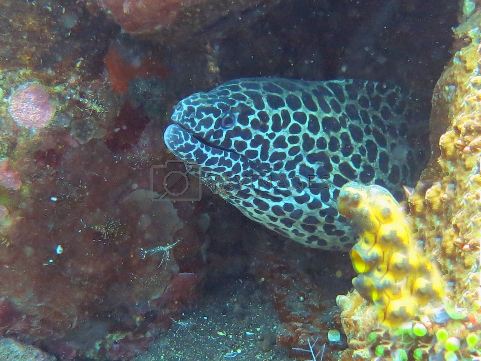 Giant spotted moray hiding  amongst coral reef on the ocean floor, Bali.