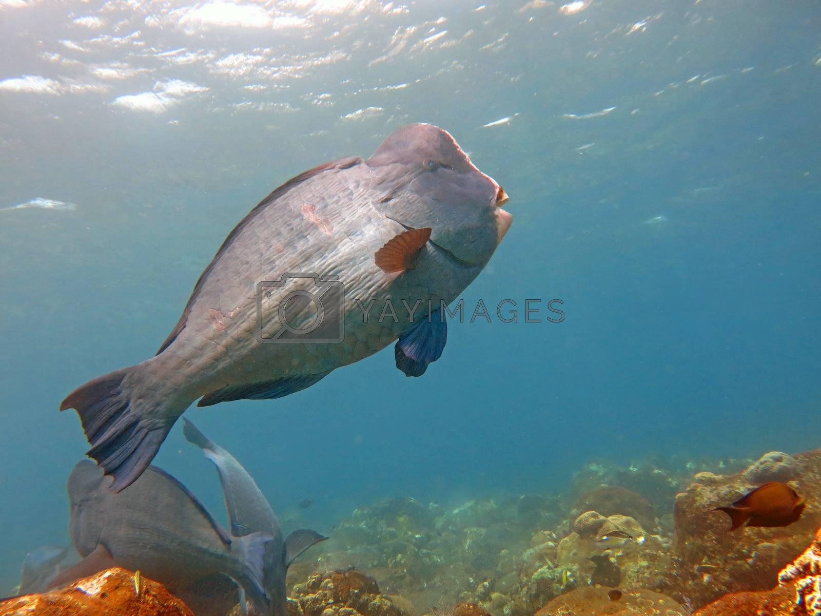 Fish Humphead Parrotfish, Bolbometopon muricatum in Bali.