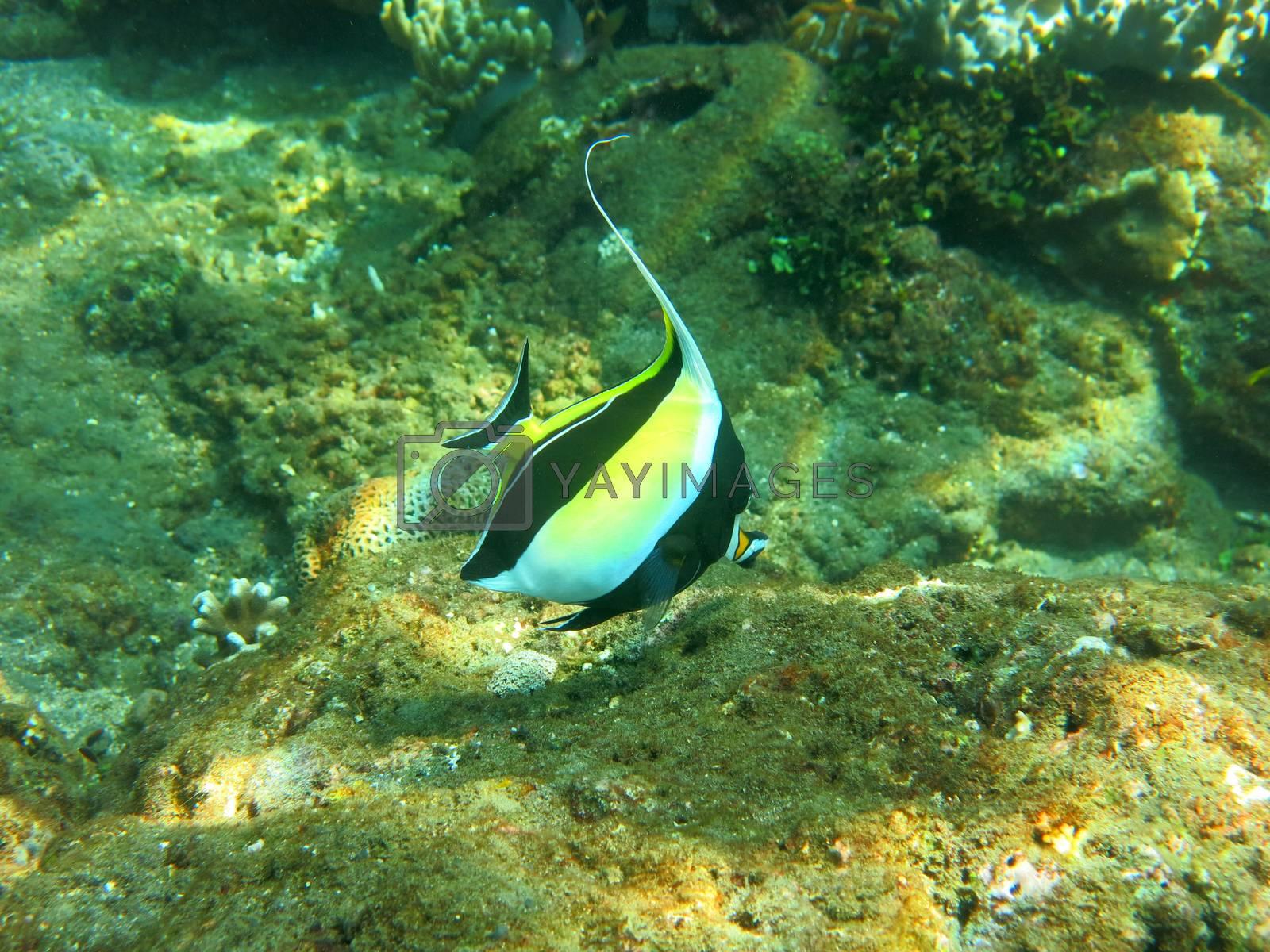 Thriving  coral reef alive with marine life and  tropical fish (Moorish Idols), Bali.