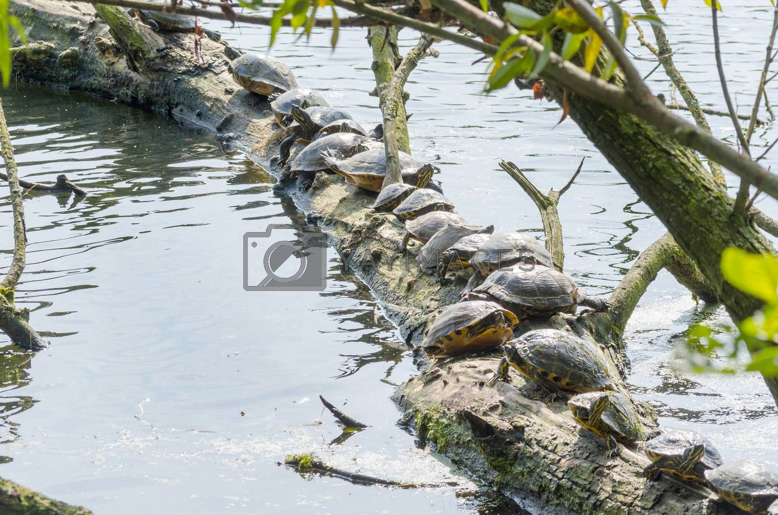 Royalty free image of  Water turtle (Chrysemys picta) by JFsPic