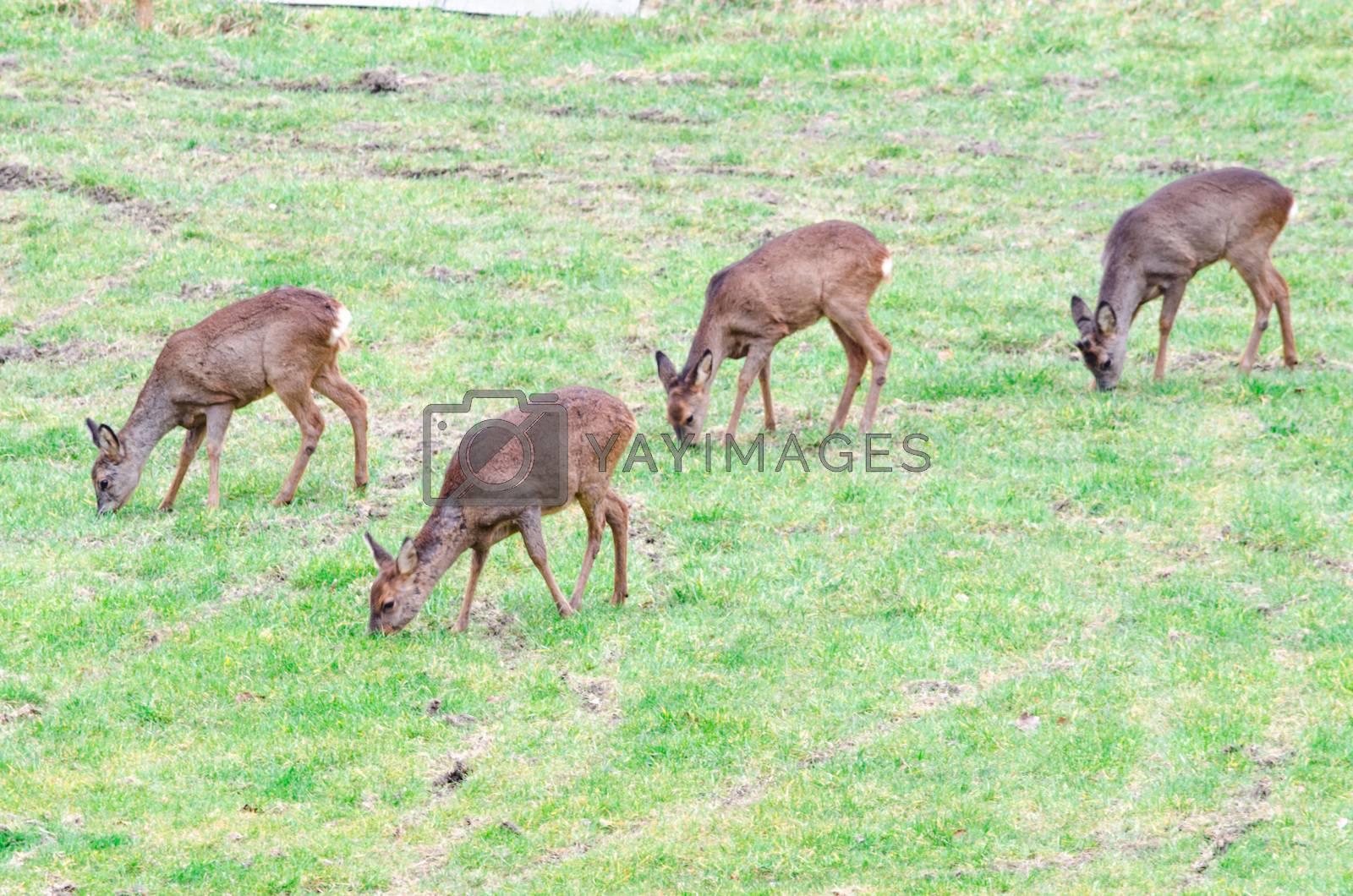 Royalty free image of  A herd of deer by JFsPic