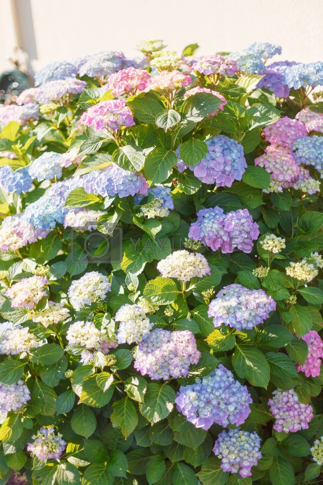 Flowering hydrangea bush covered in assorted pink and blue clusters of flowers in sunshine growing in a garden, close up view