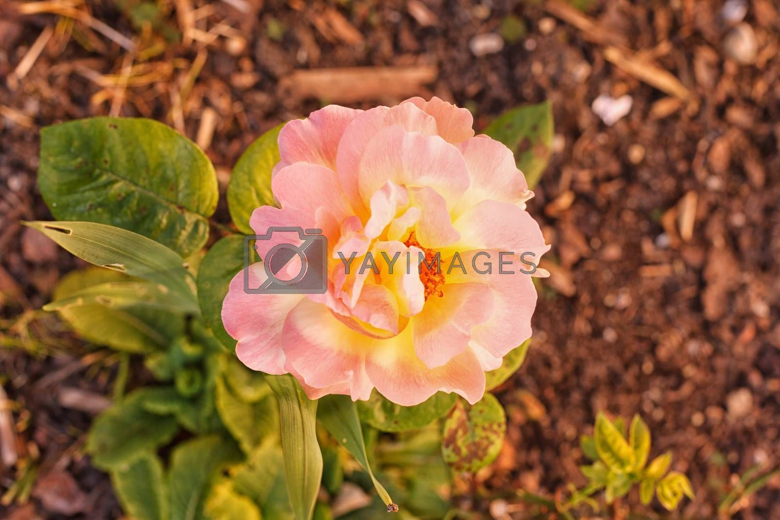 Variegated pretty pink and yellow rose growing on a small bush outdoors in the garden, symbolic of love and romance, overhead view