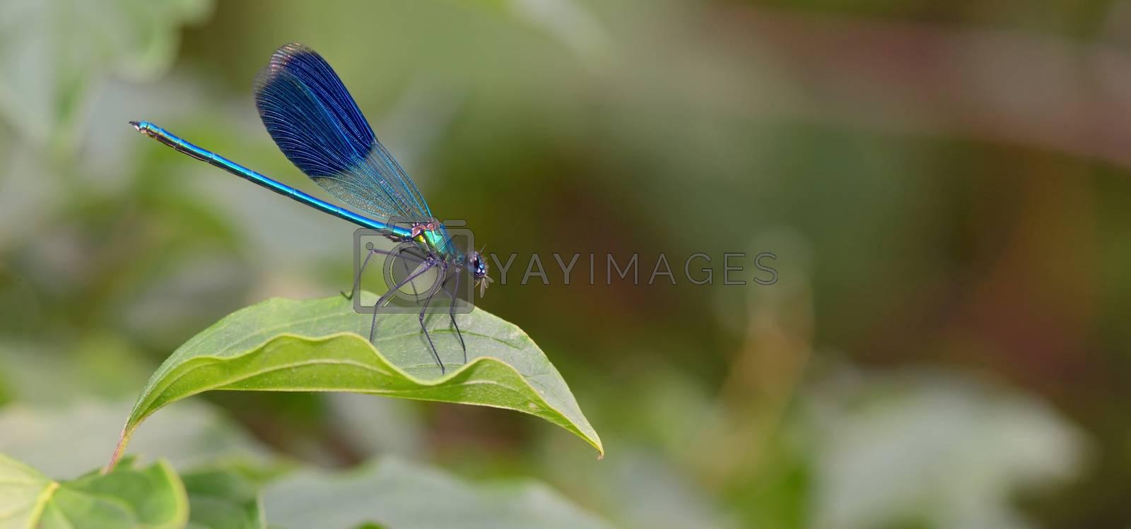 dragonfly in forest (coleopteres splendens)