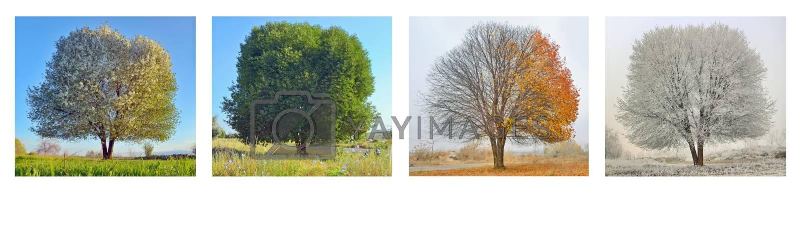 alone tree in four season panorama