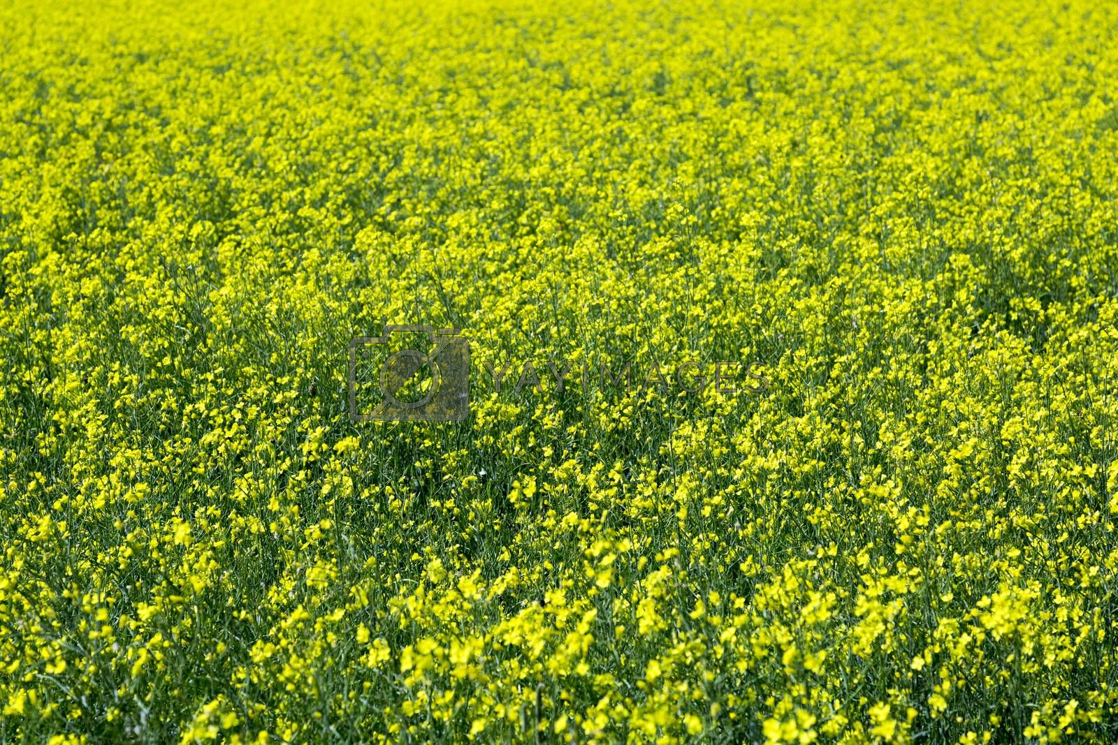 Entire Field of Rapeseed blossoming in yellow flowers.