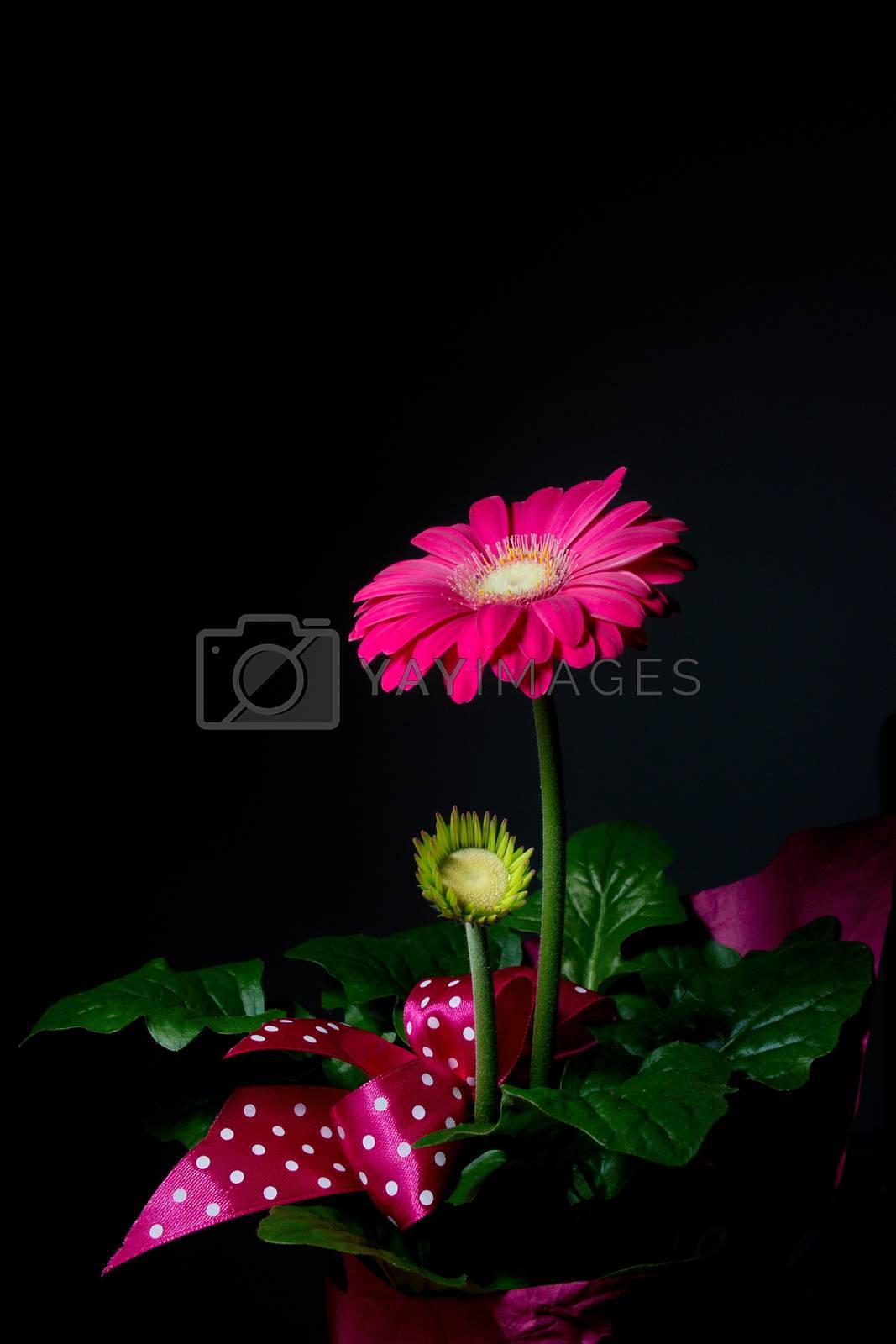 Royalty free image of Purple gerbera flower by anderm