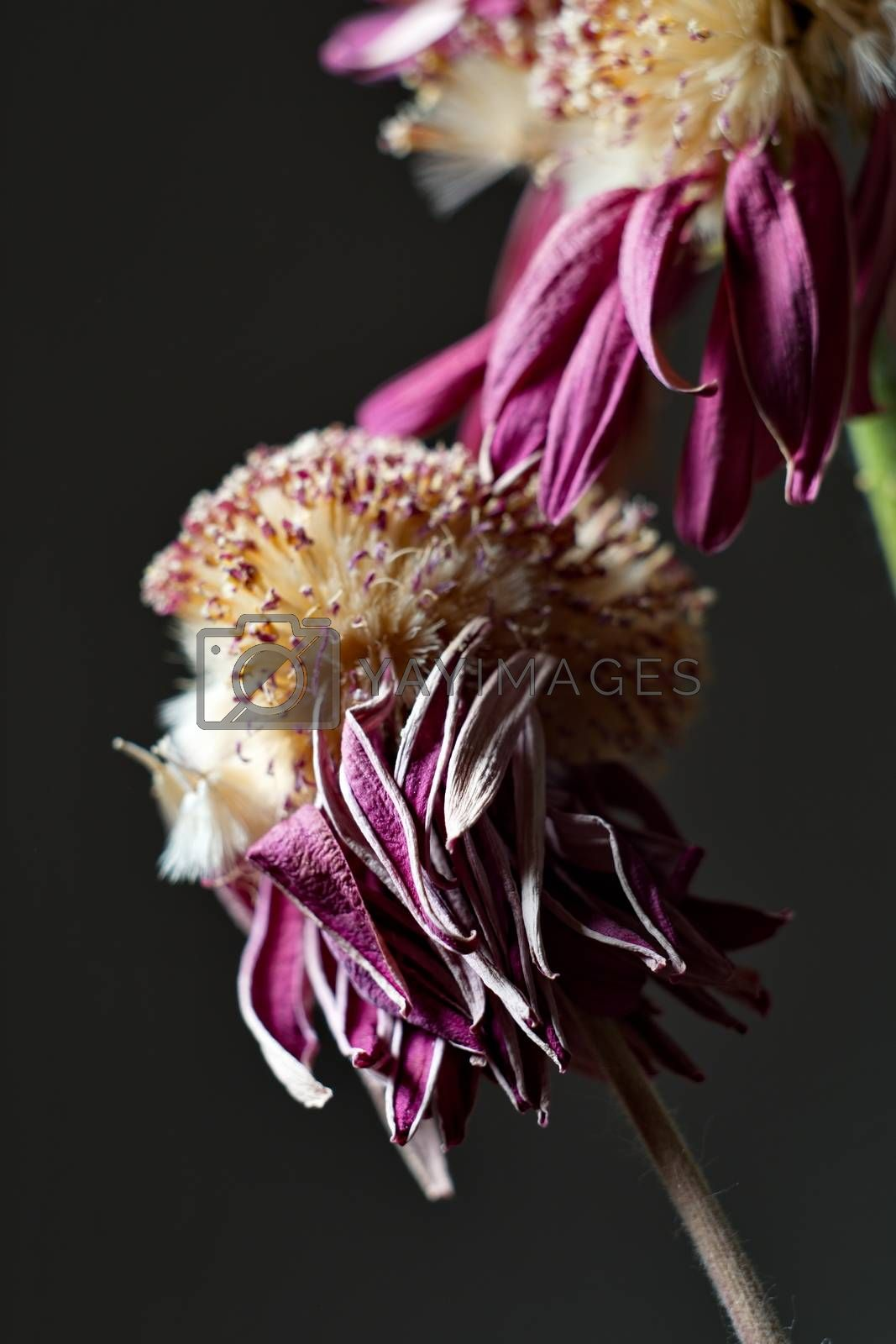 Royalty free image of Purple withered flower by anderm