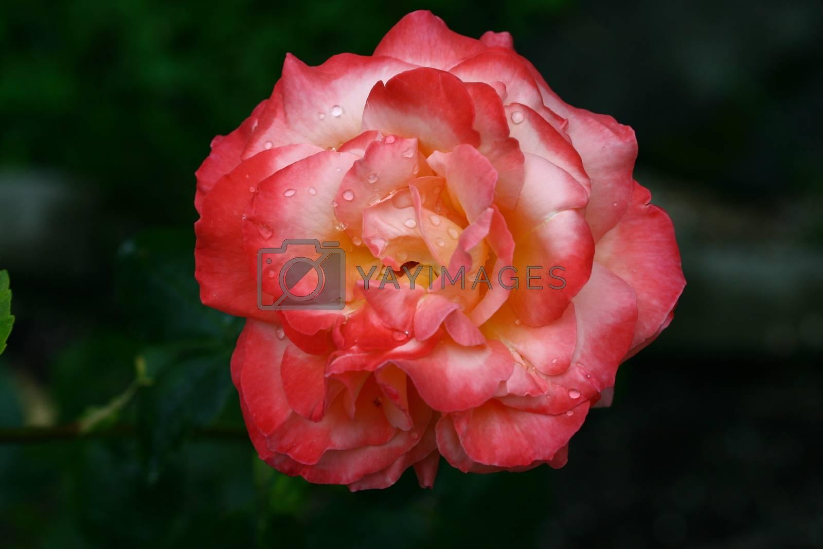 Rød rose i sol lys og flash