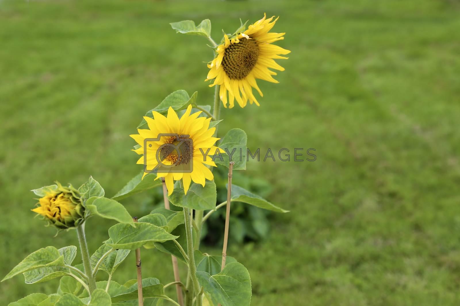 Solsikke i full blomst
