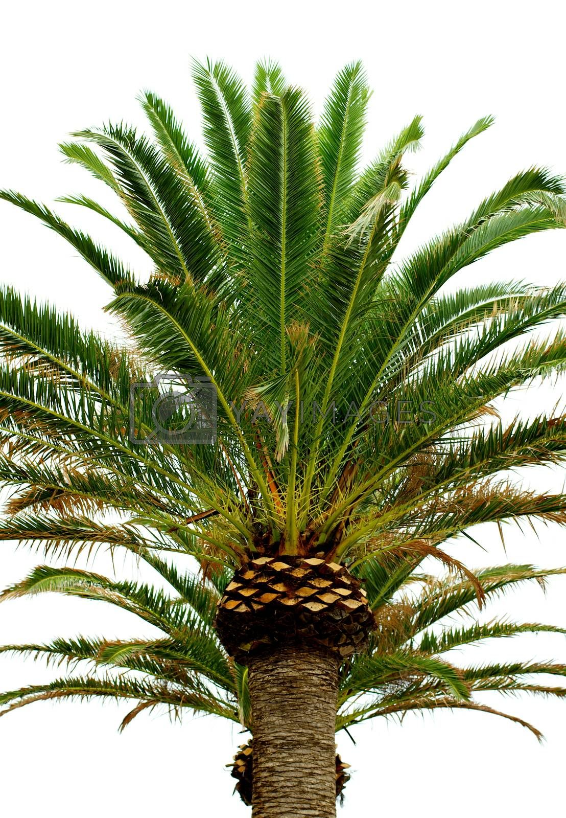 Royalty free image of Palm Tree by zhekos