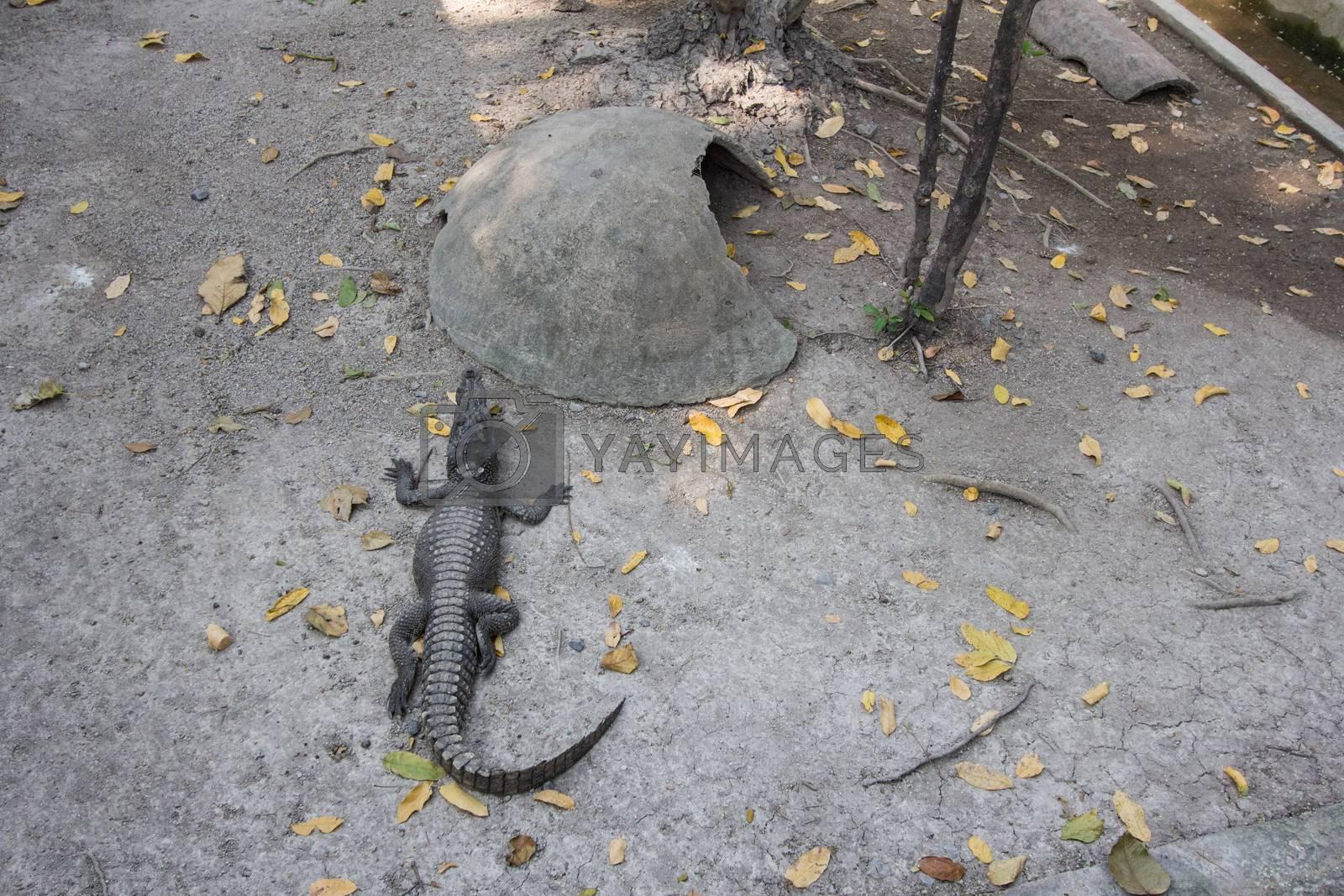 Royalty free image of Crocodile by kritsada1992