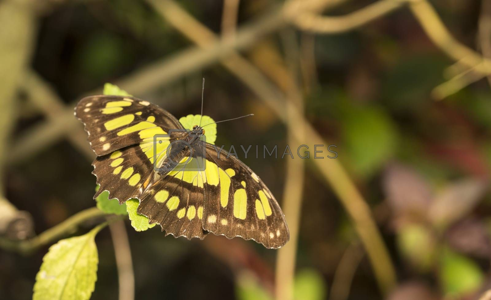 Royalty free image of philaethria dido butterfly  by compuinfoto