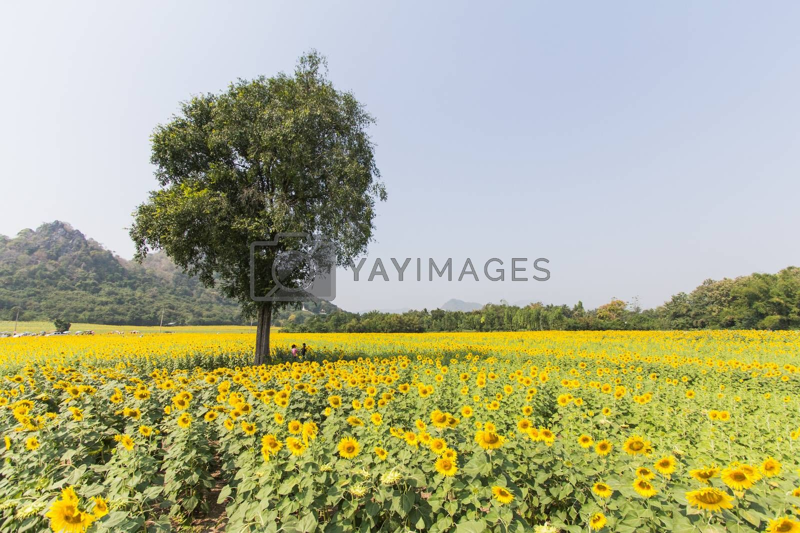 Royalty free image of sunflower field and tree in thailand by kritsada1992