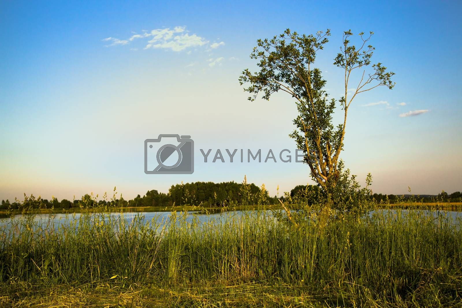 Royalty free image of tree in summer by avq