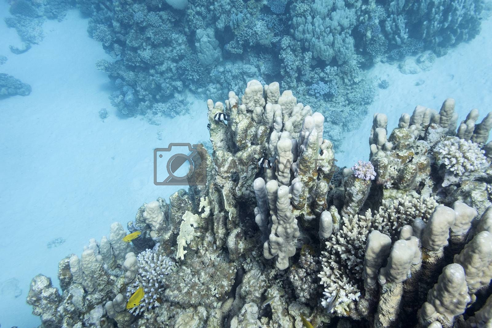 Royalty free image of coral reef with porites coral in tropical sea, underwater by mychadre77