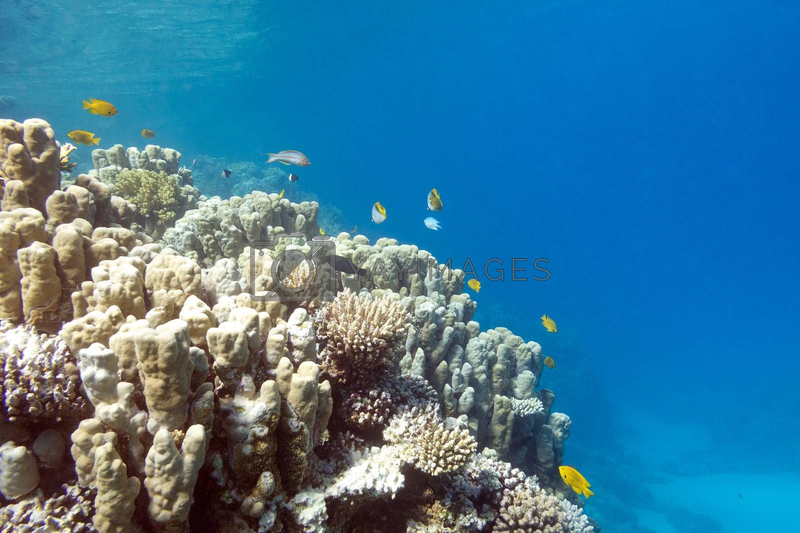 Royalty free image of Coral reef with porites corals in tropical sea, underwater by mychadre77