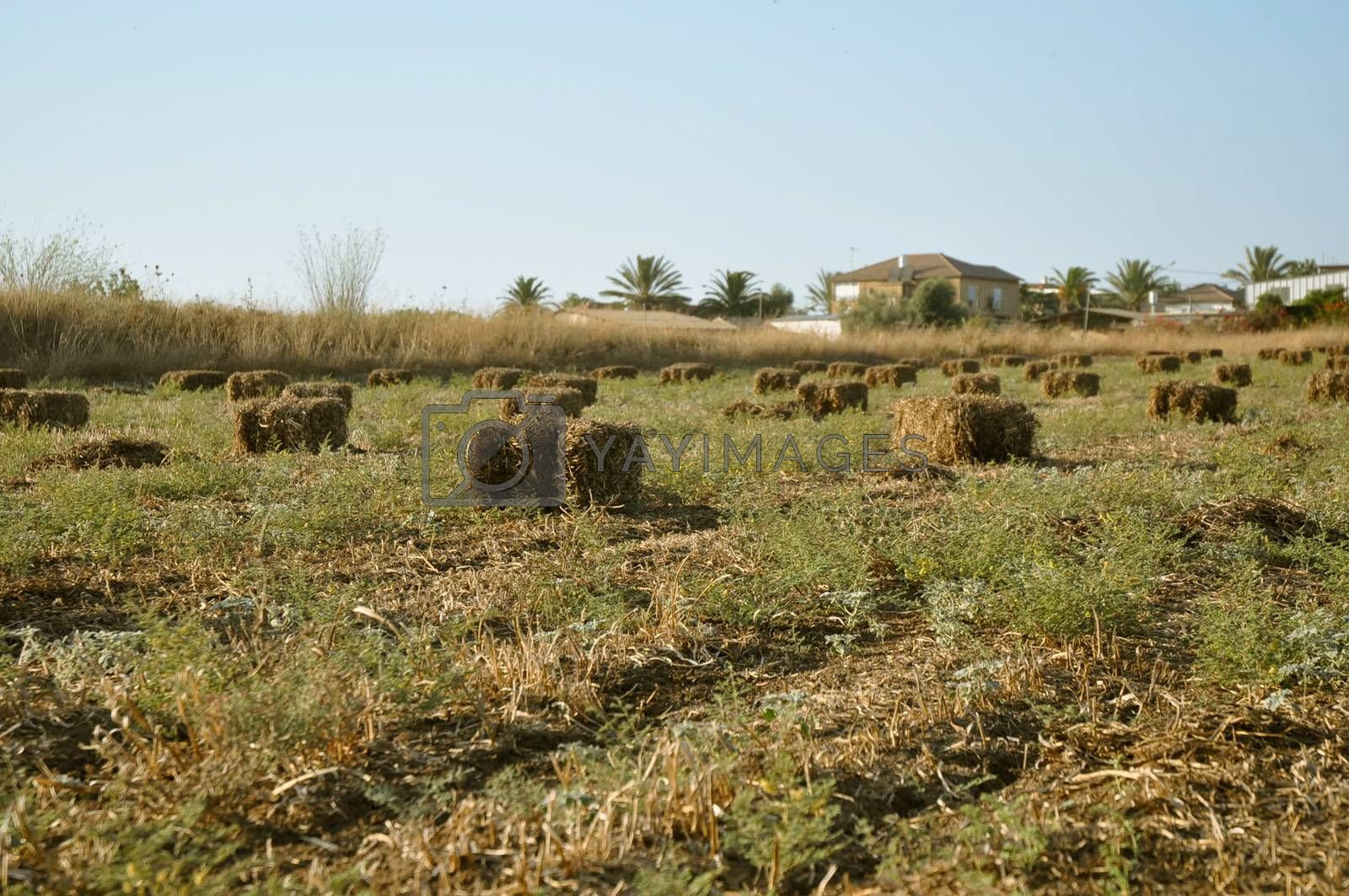Royalty free image of Wheat haystack . by LarisaP