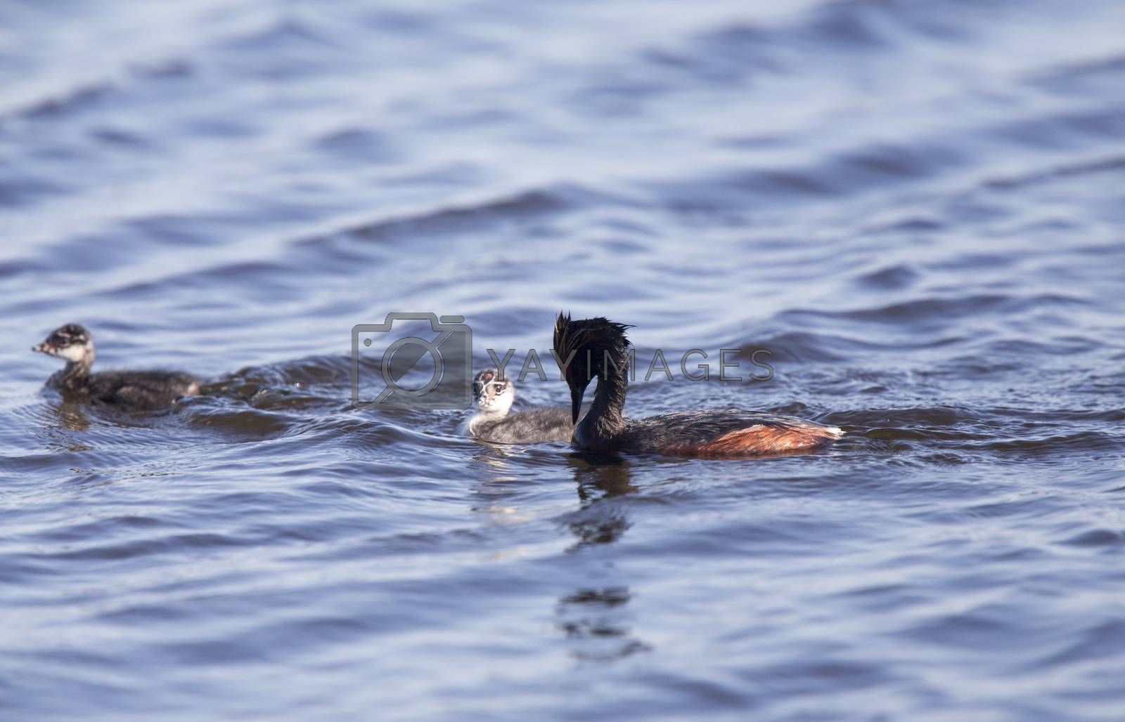 Eared Grebe with Babies by pictureguy