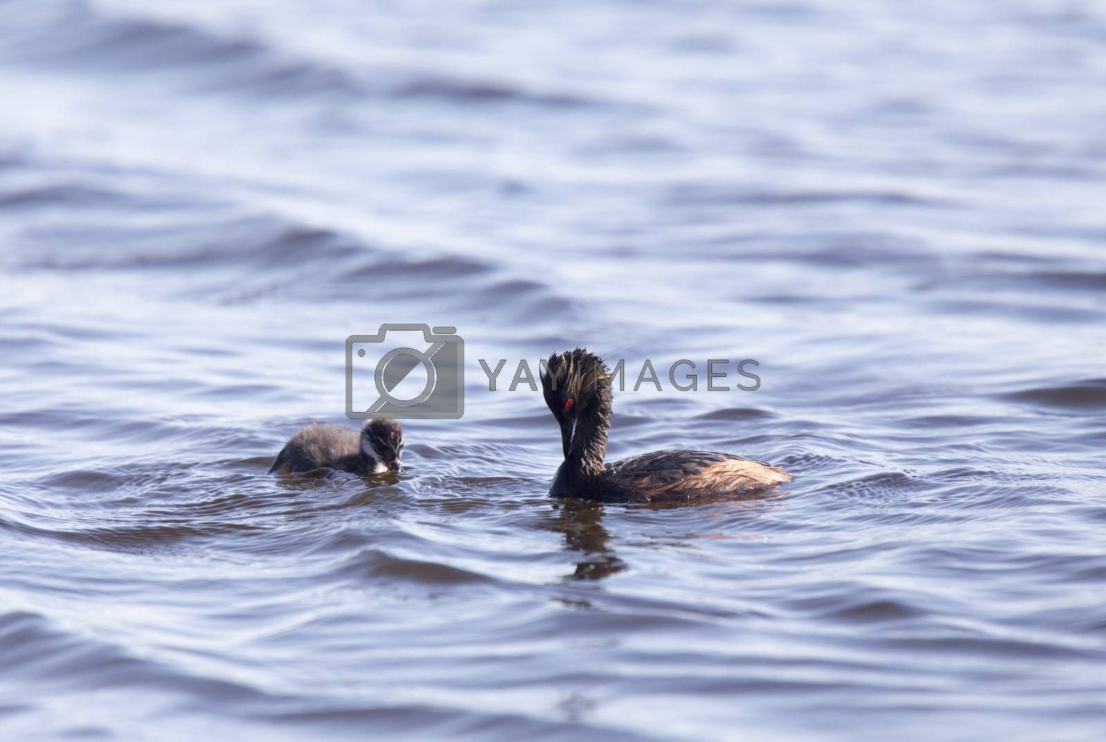 Royalty free image of Eared Grebe with Babies by pictureguy