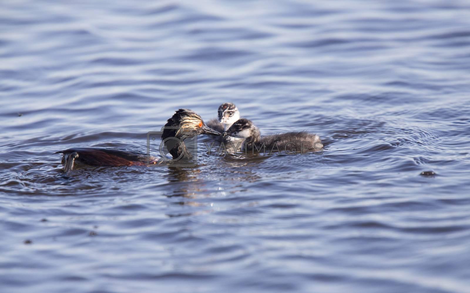 Eared Grebe with Babies Saskatchewan Marsh Canada