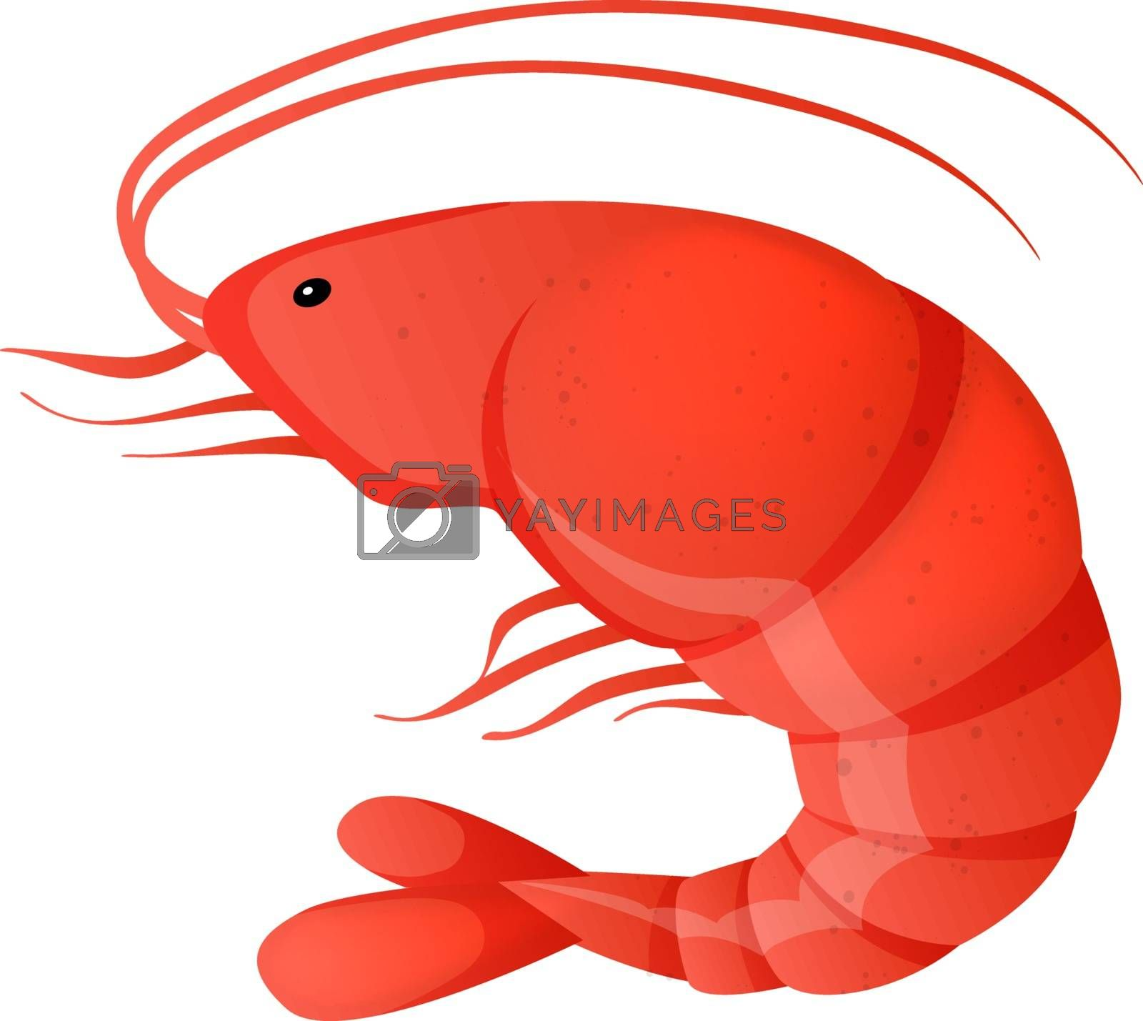 Vector illustration of red shrimp on white background