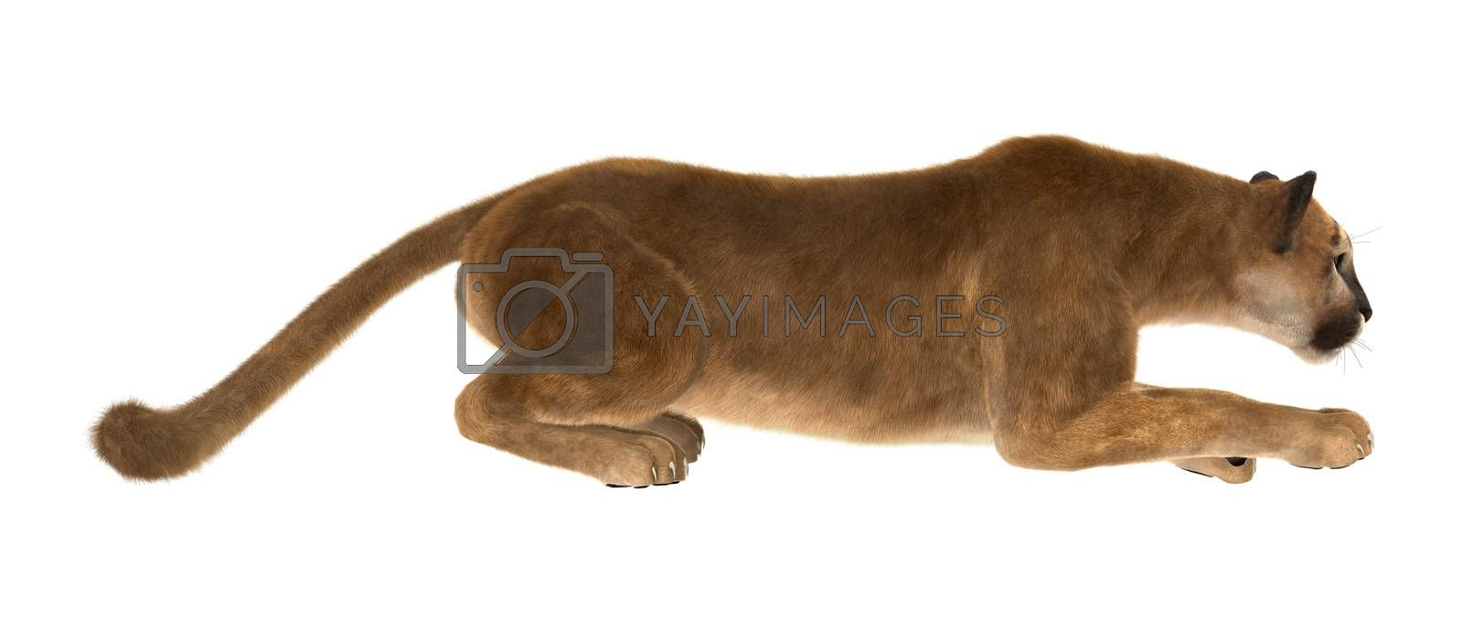 3D digital render of a big cat puma hunting isolated on white background