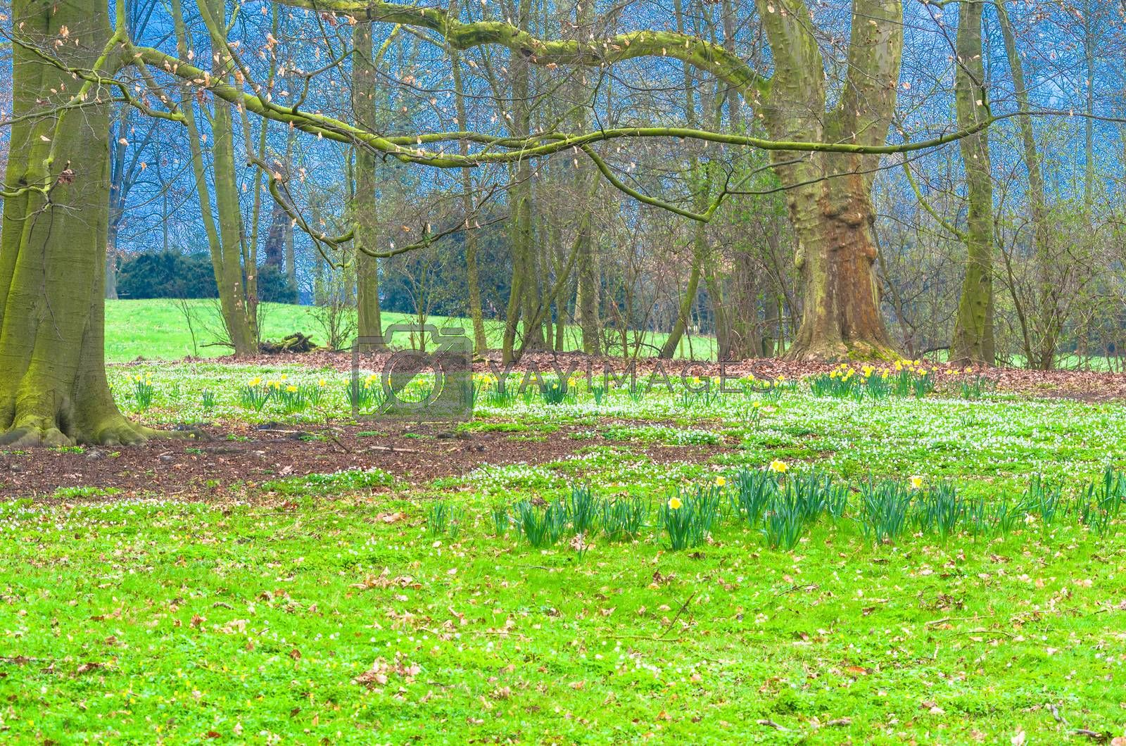 Magically acting forest clearing with a green meadow and wild daffodils,