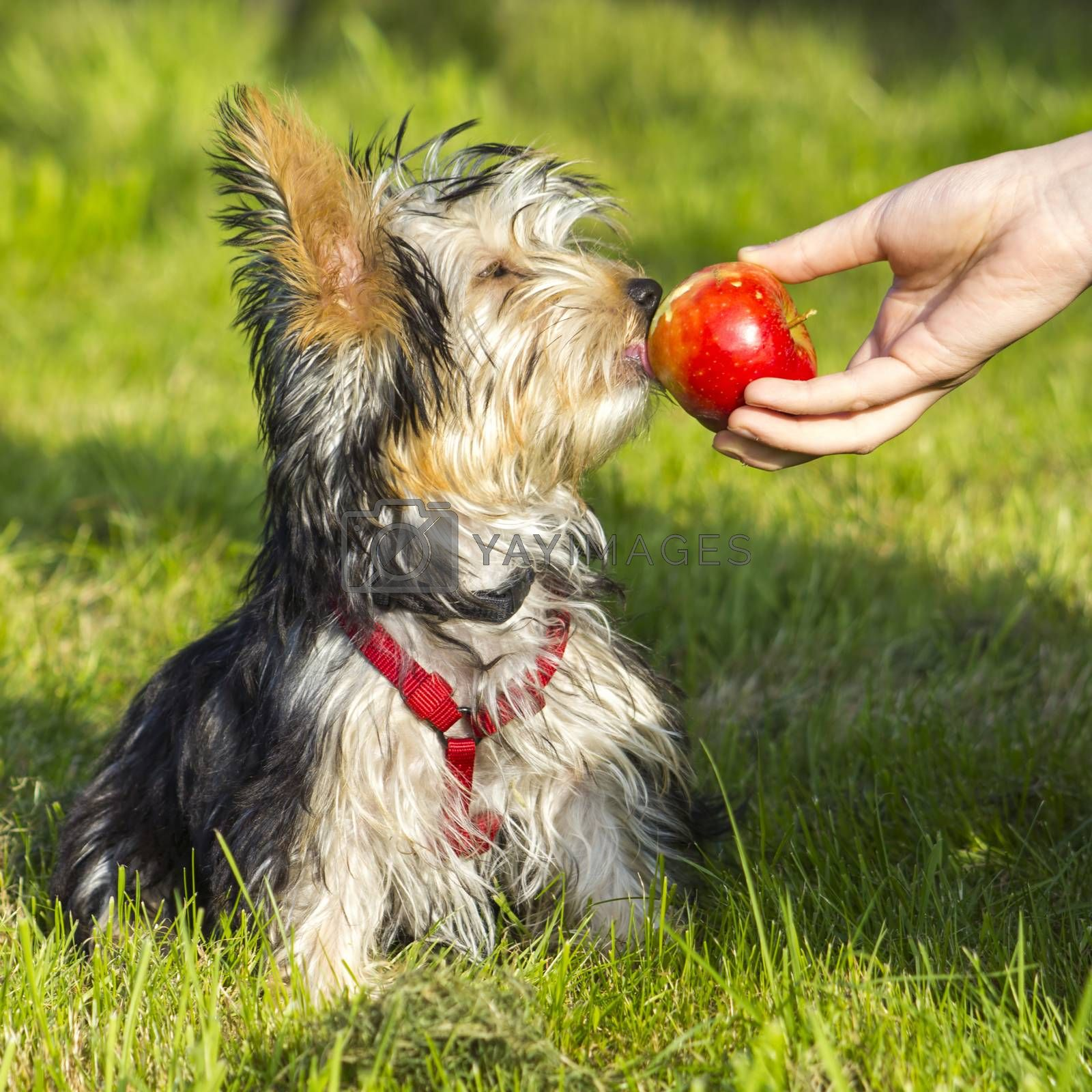 yorkshire terrier is eating apple
